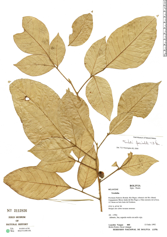 Specimen: Trichilia fasciculata