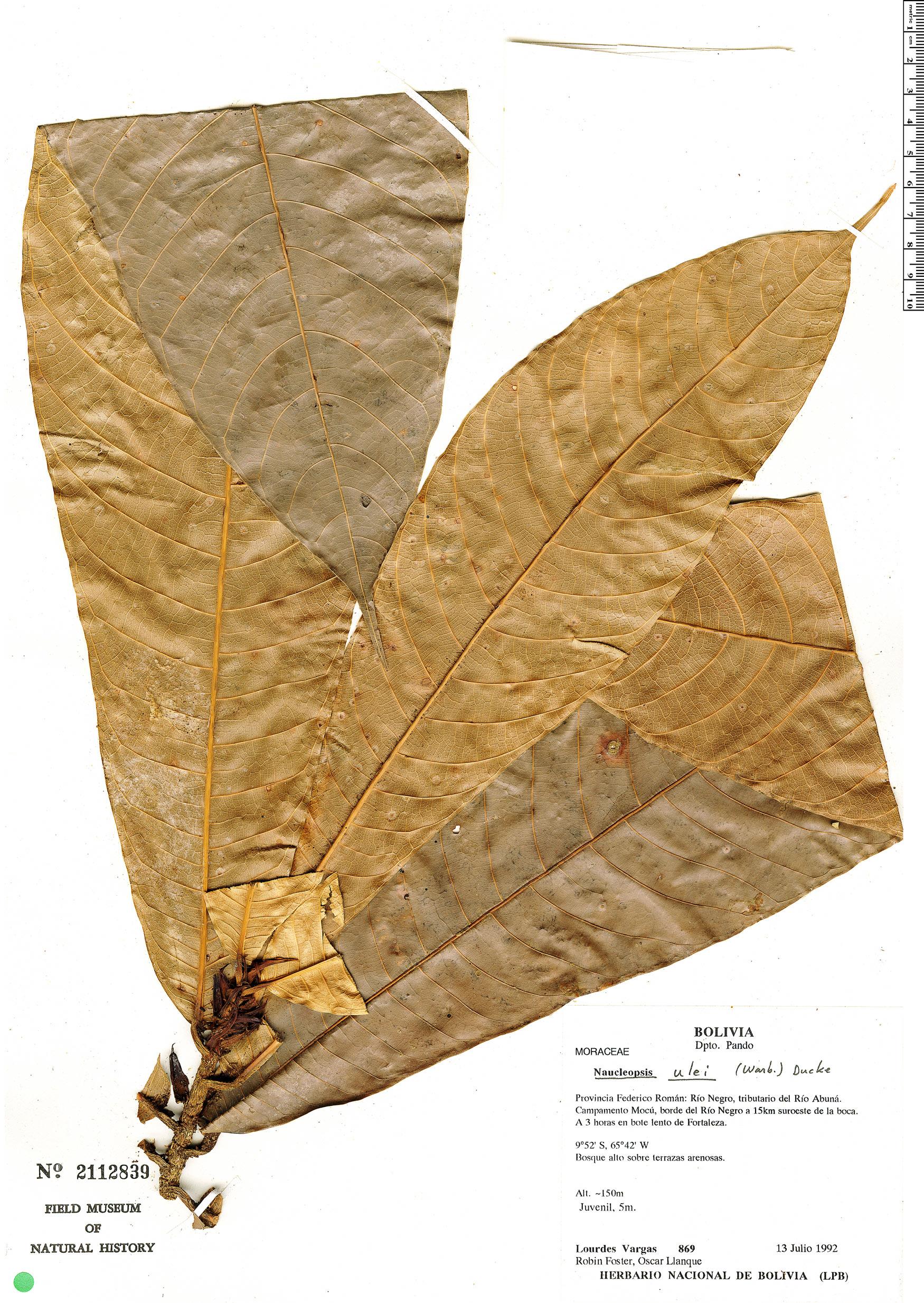 Espécimen: Naucleopsis ulei