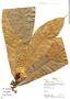 Naucleopsis ulei (Warb.) Ducke, Bolivia, L. Vargas 869, F