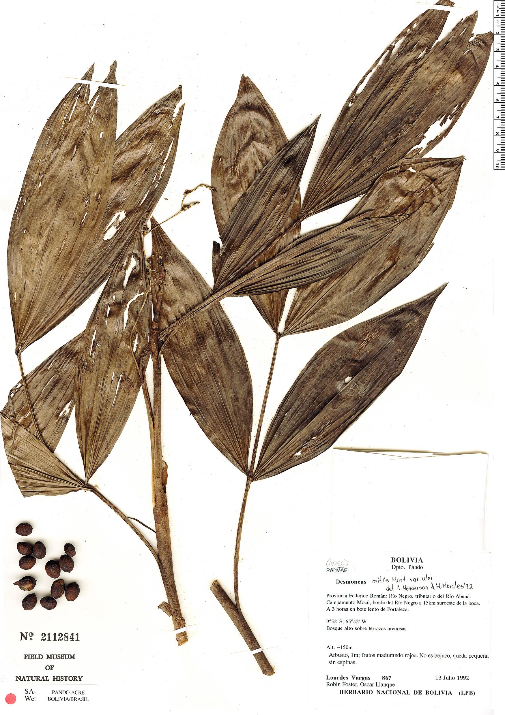 Specimen: Desmoncus mitis