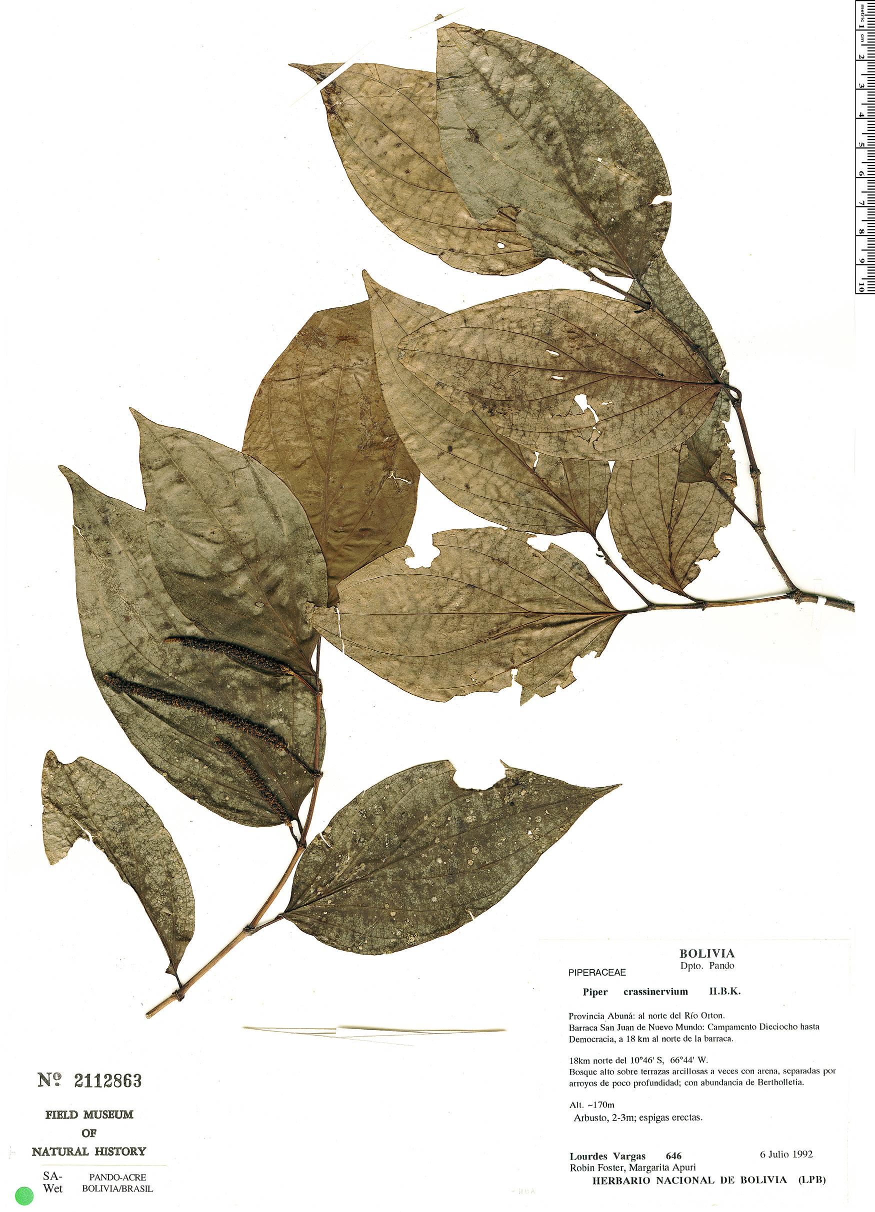 Espécimen: Piper crassinervium