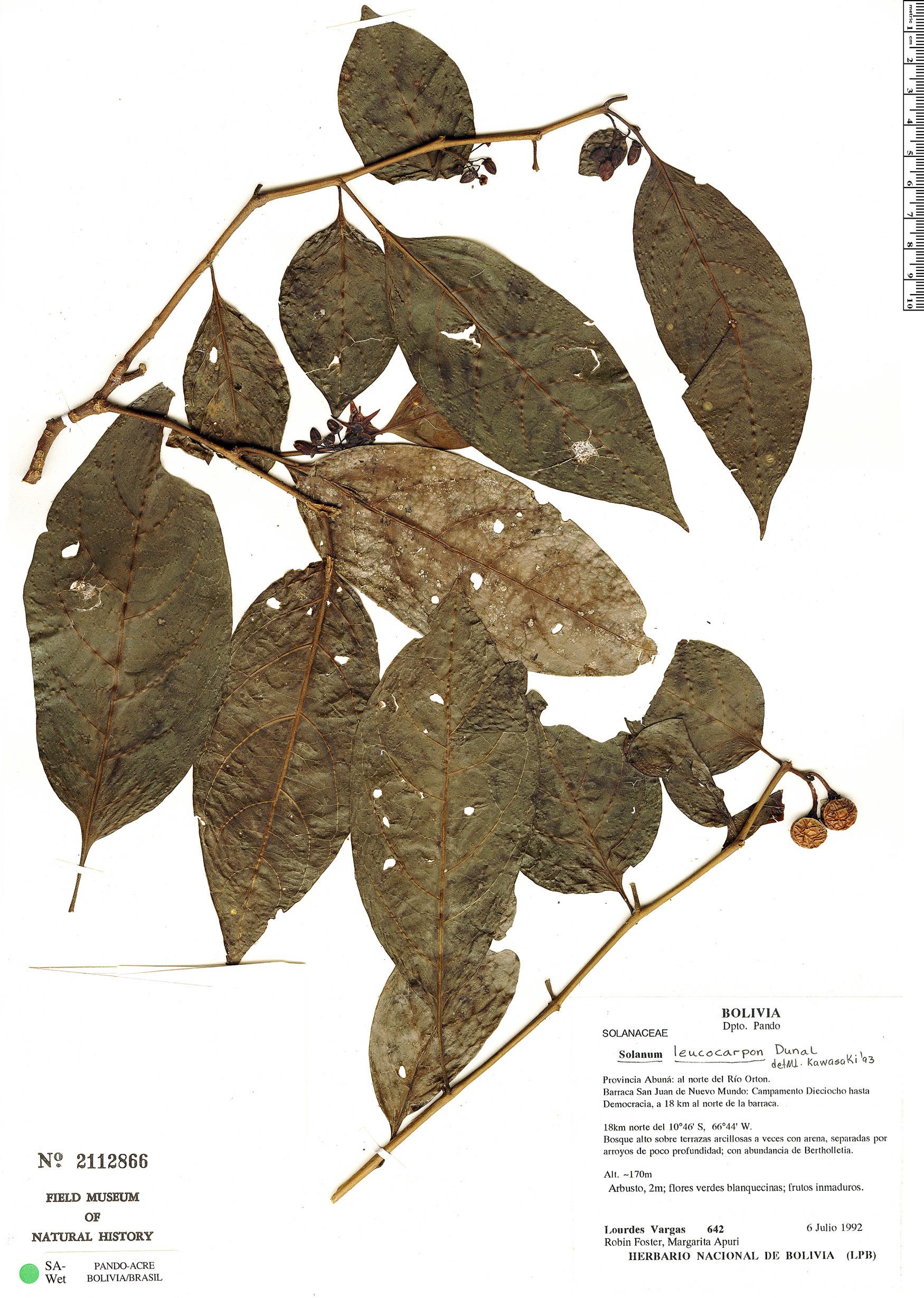 Specimen: Solanum leucocarpon