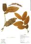 Hirtella pilosissima image