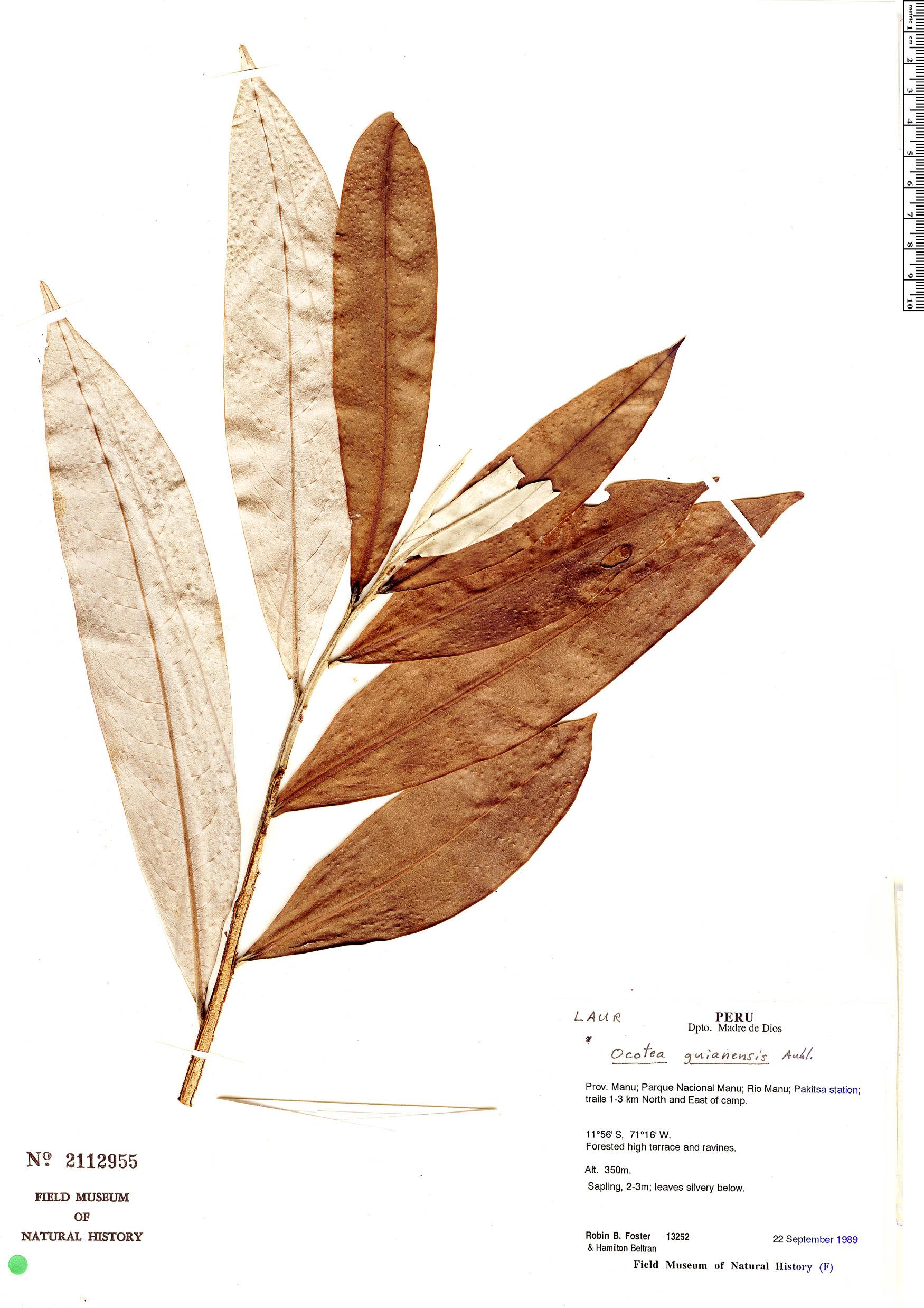 Specimen: Ocotea guianensis