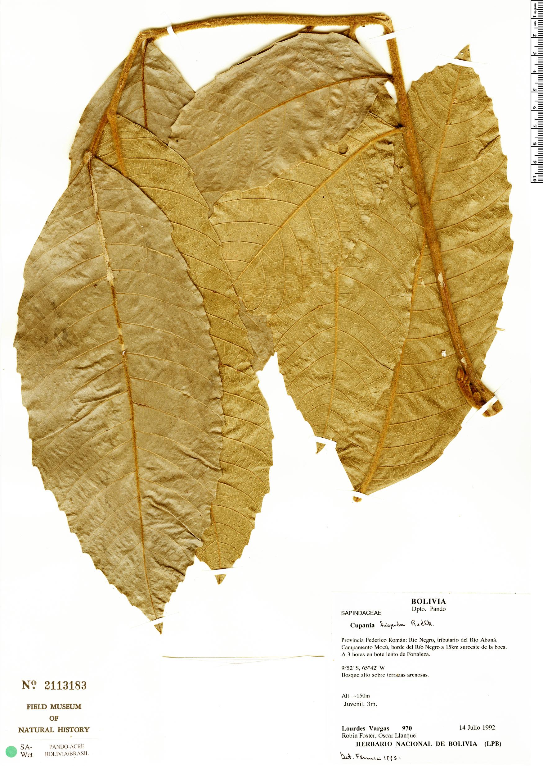 Specimen: Cupania hispida
