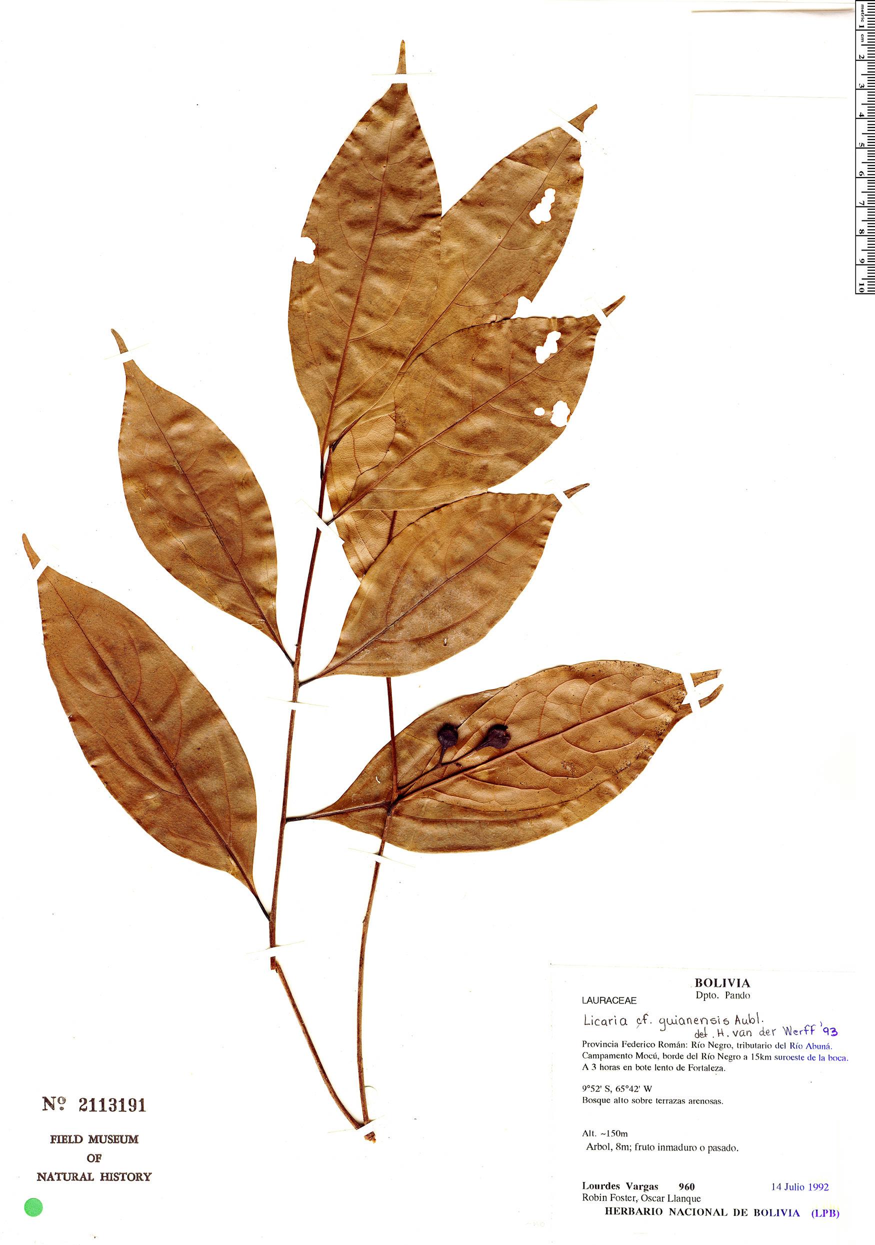 Espécime: Licaria guianensis