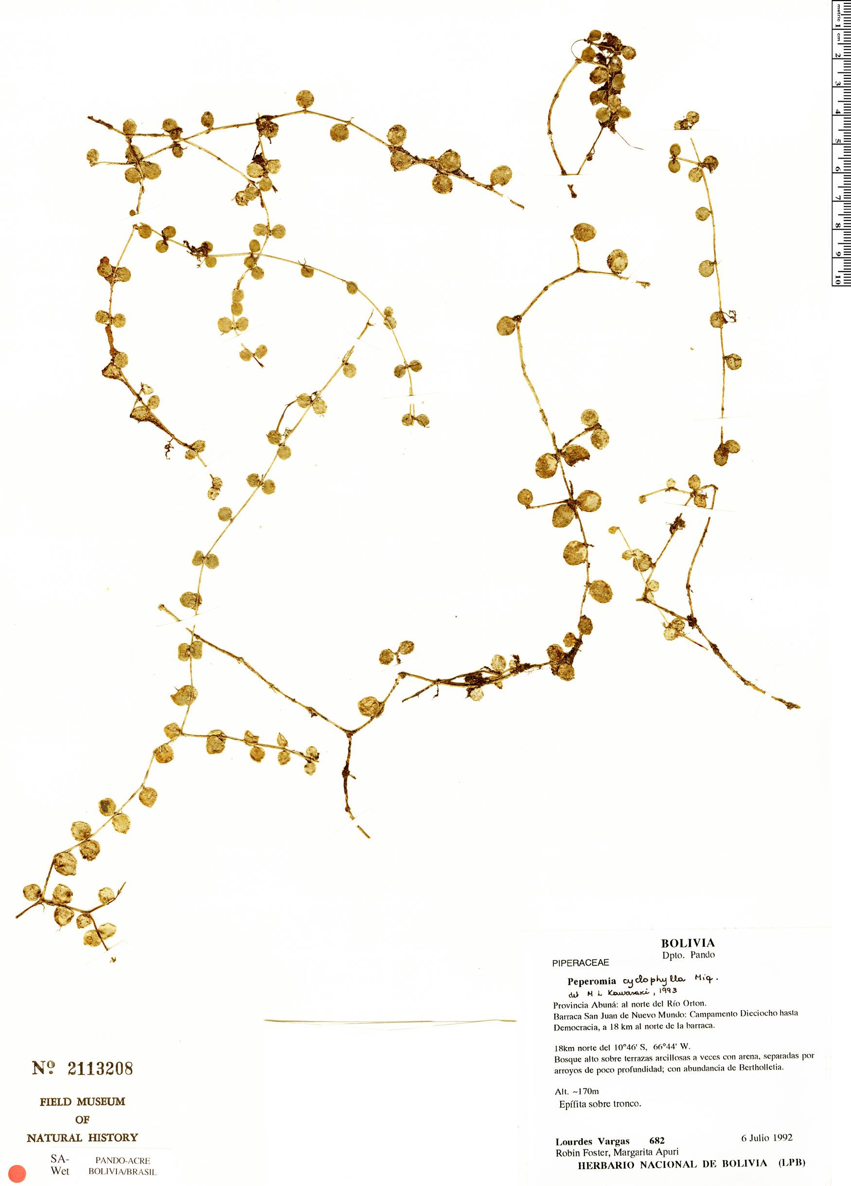 Specimen: Peperomia cyclophylla