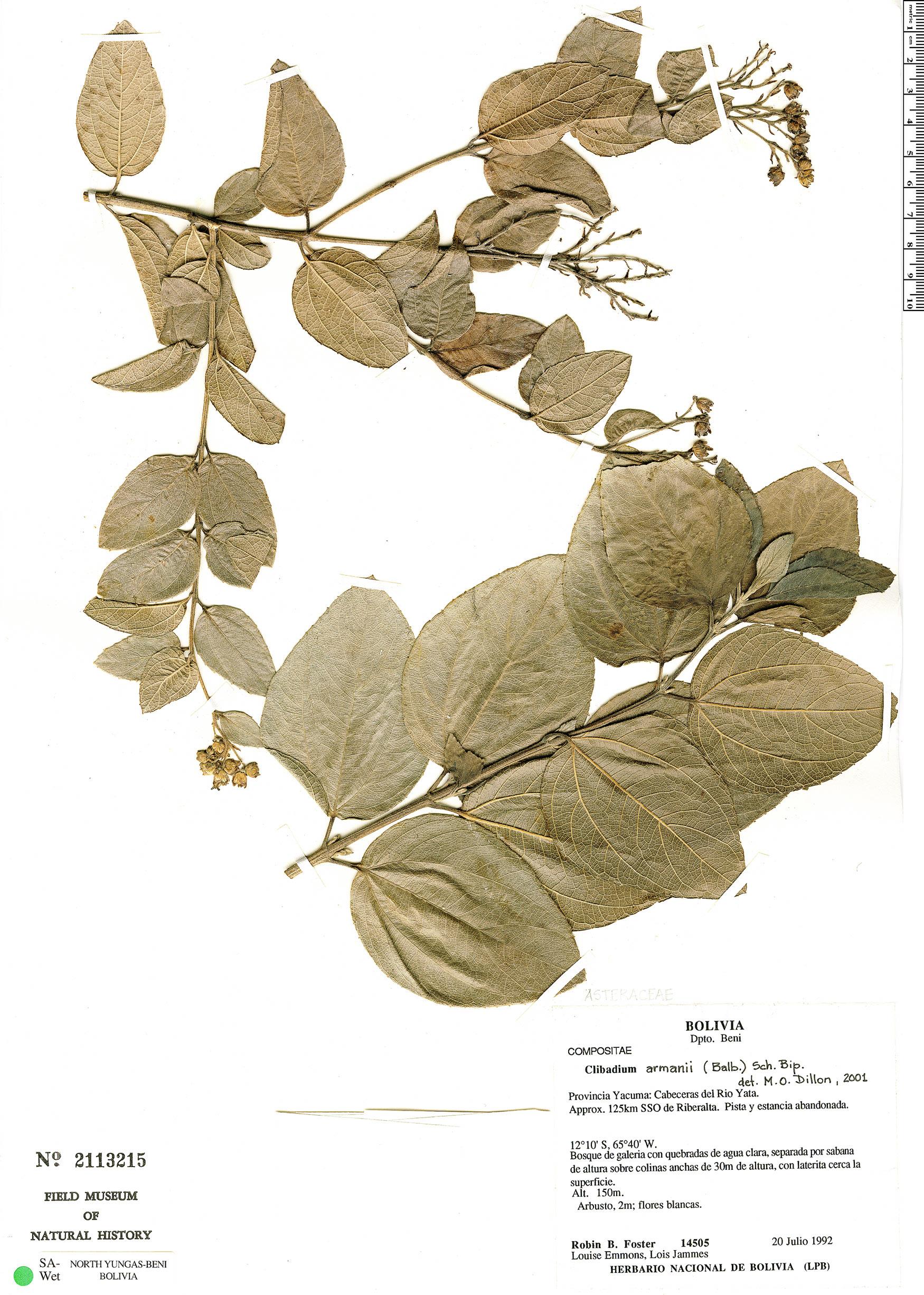 Specimen: Clibadium armanii