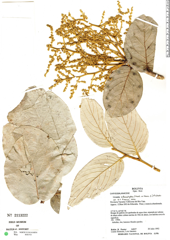 Specimen: Licania sclerophylla