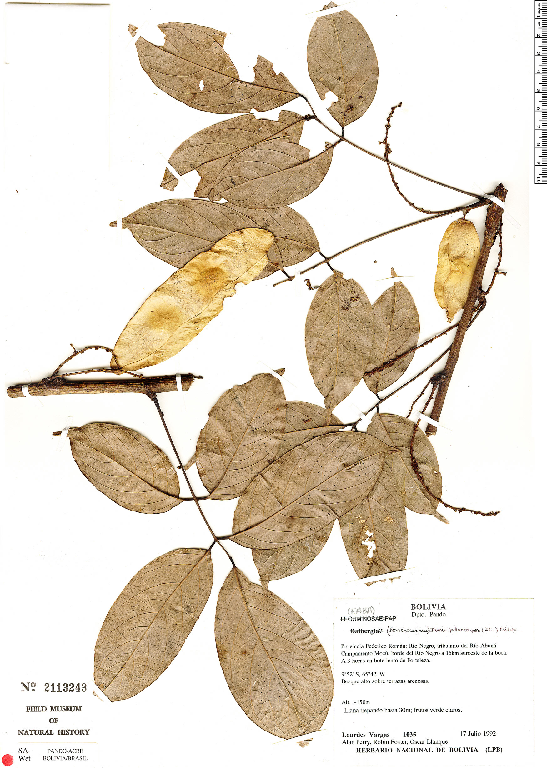 Specimen: Deguelia scandens