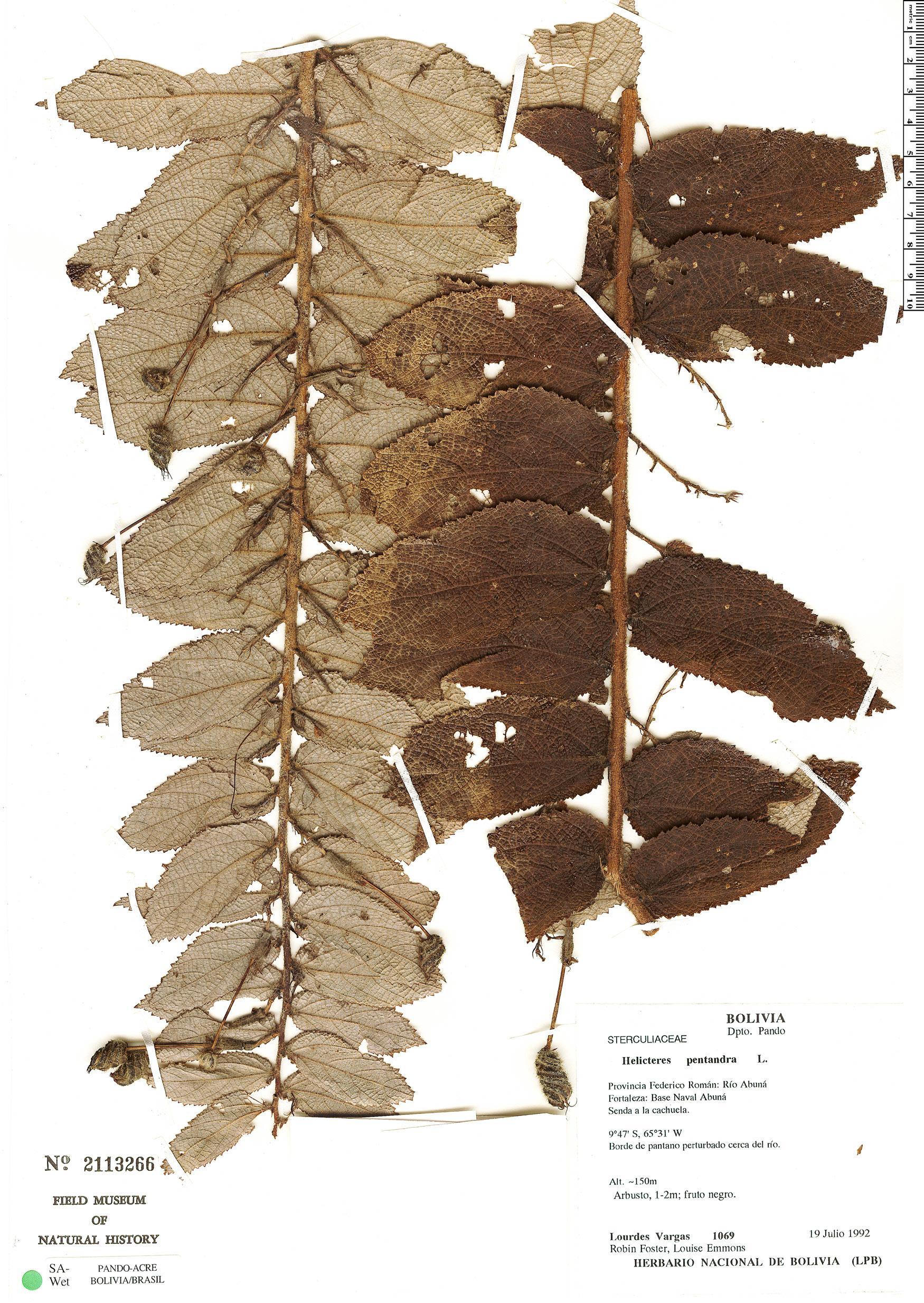 Specimen: Helicteres pentandra