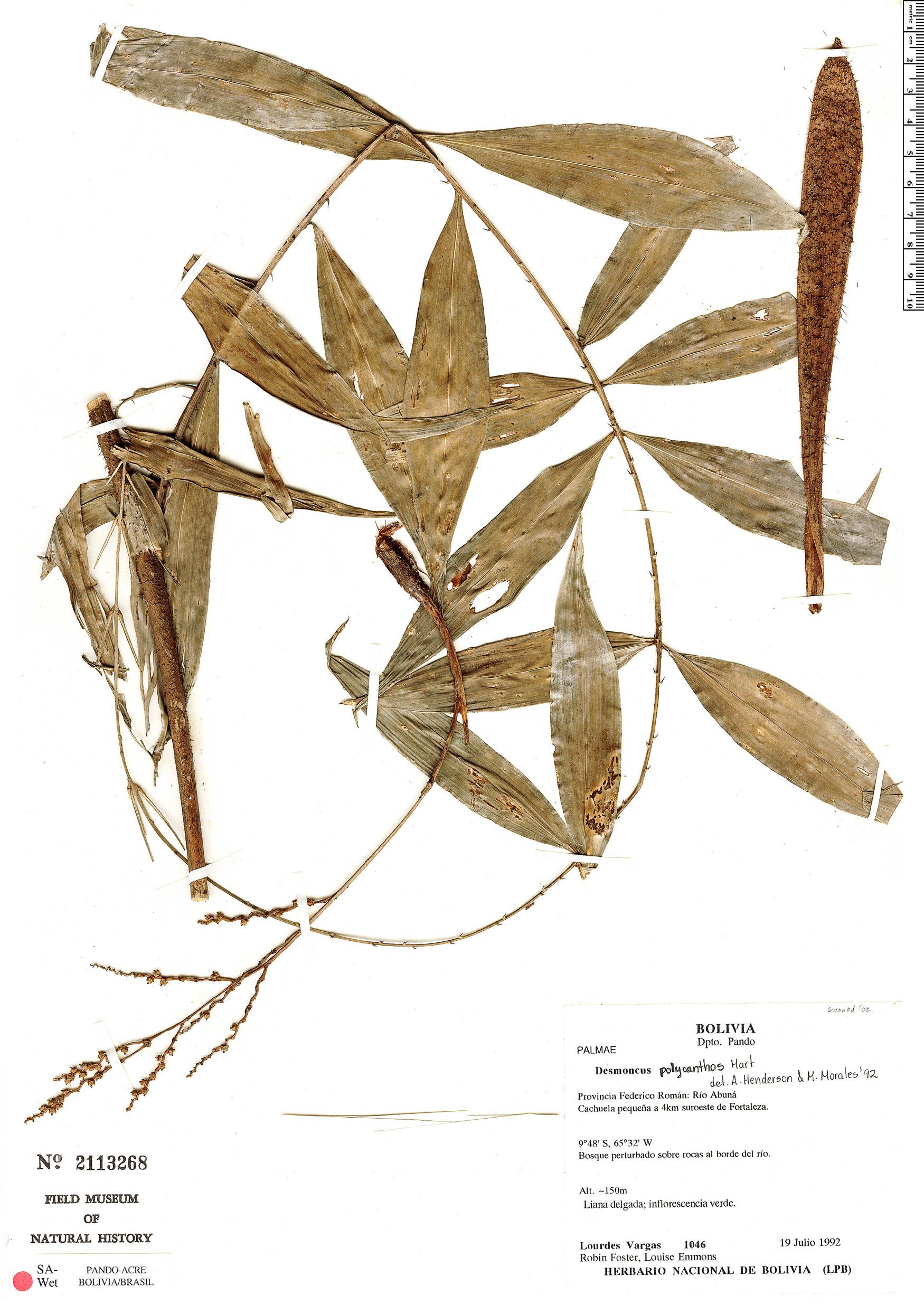 Specimen: Desmoncus latisectus