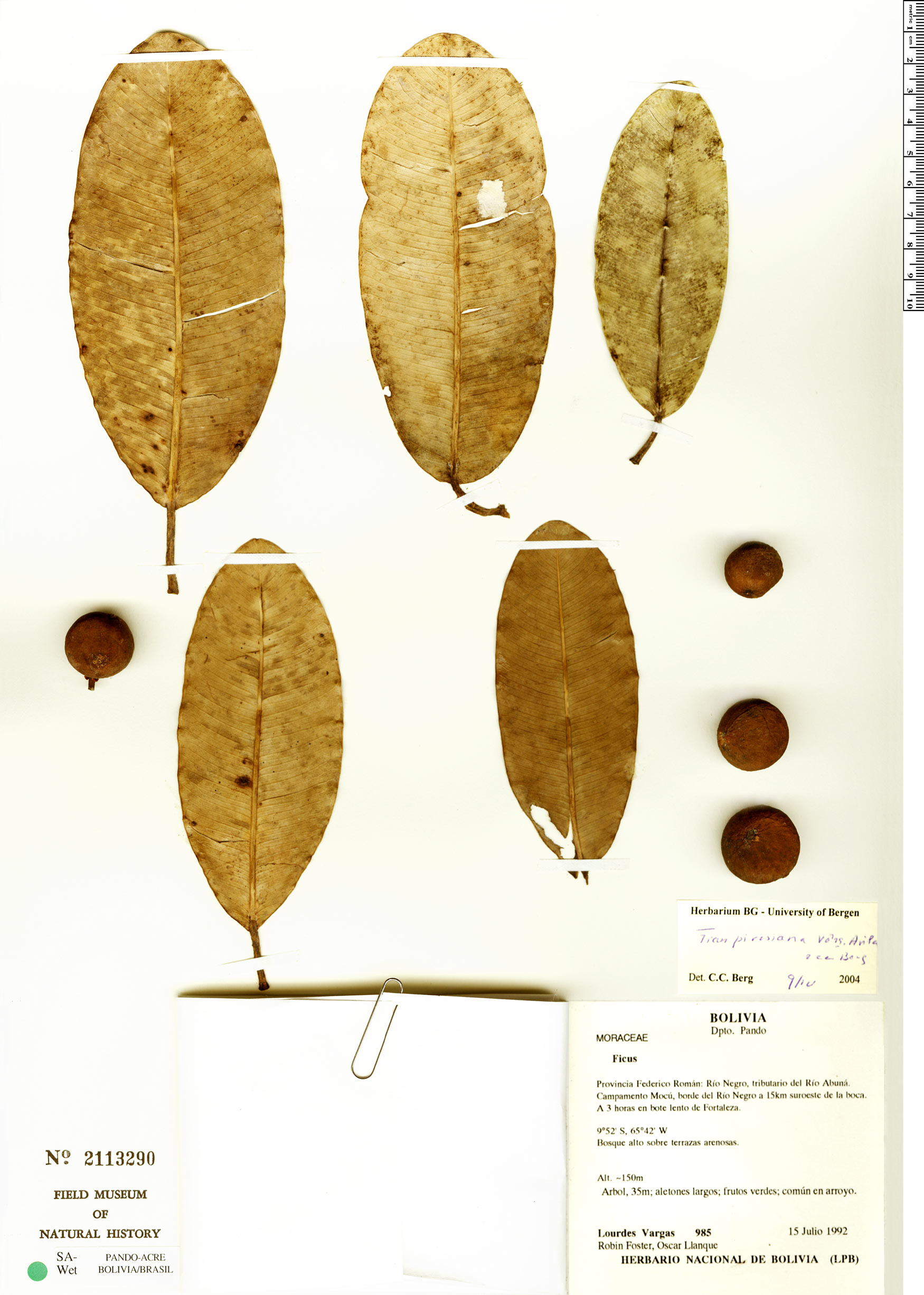 Specimen: Ficus crassivenosa