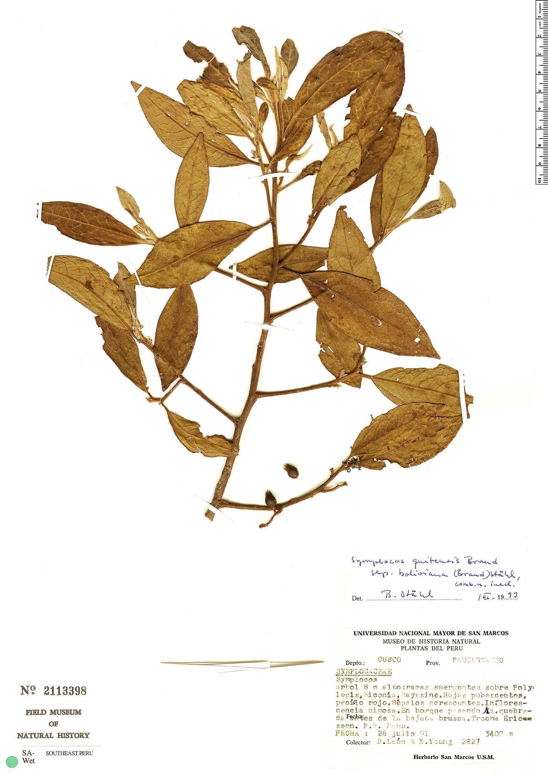 Specimen: Symplocos quitensis