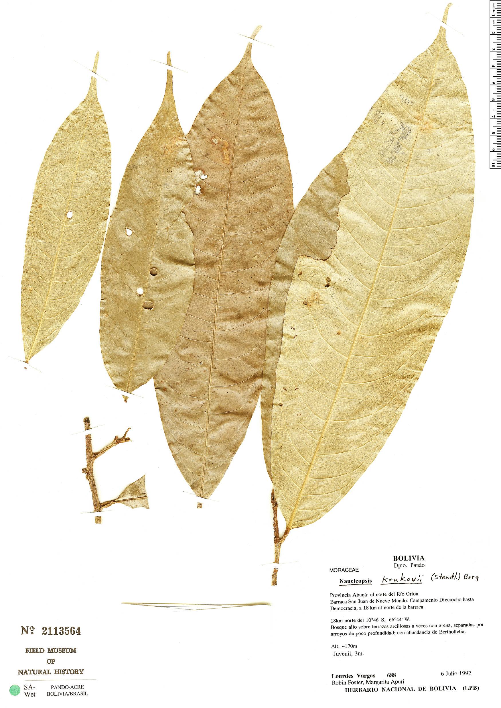 Specimen: Naucleopsis krukovii
