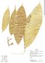 Naucleopsis krukovii, Bolivia, L. Vargas 688, F