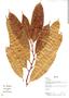 Naucleopsis glabra, Bolivia, L. Vargas 699, F