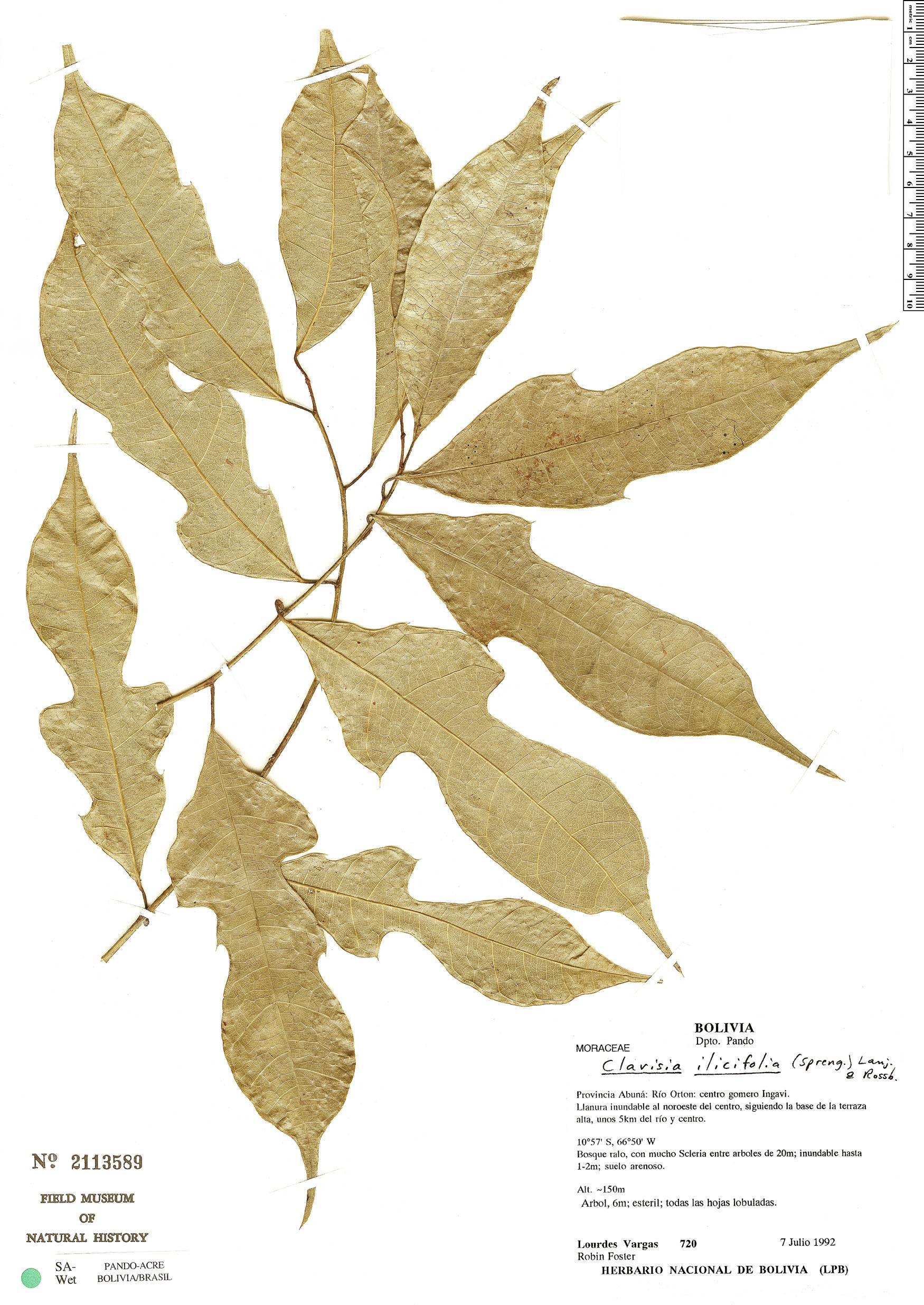 Specimen: Clarisia ilicifolia