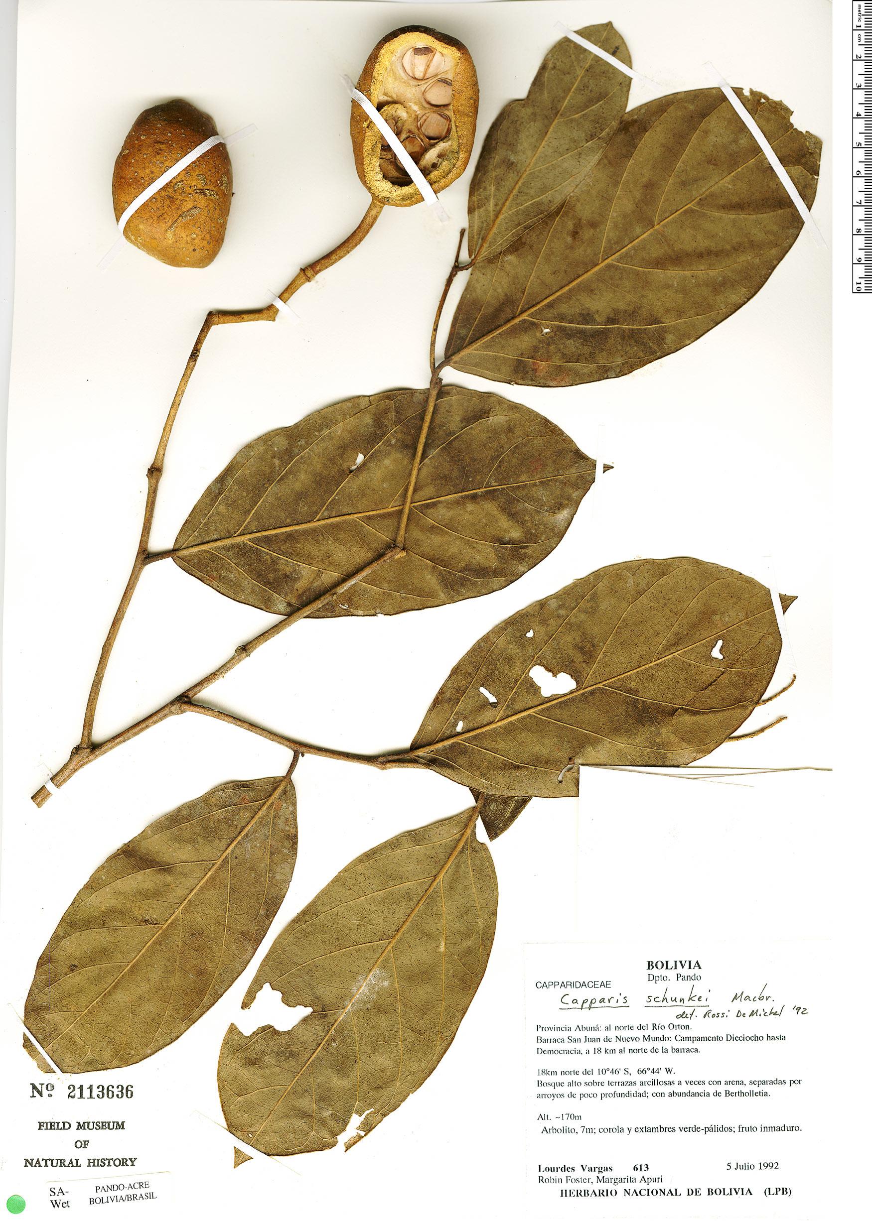 Specimen: Preslianthus pittieri