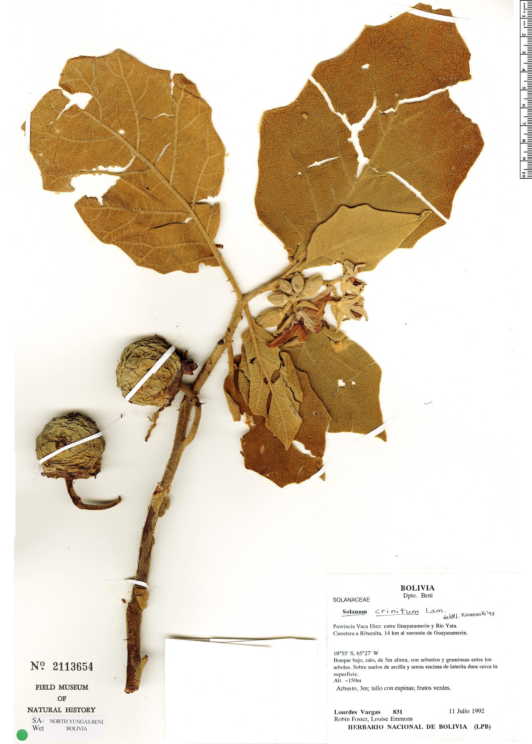 Specimen: Solanum crinitum