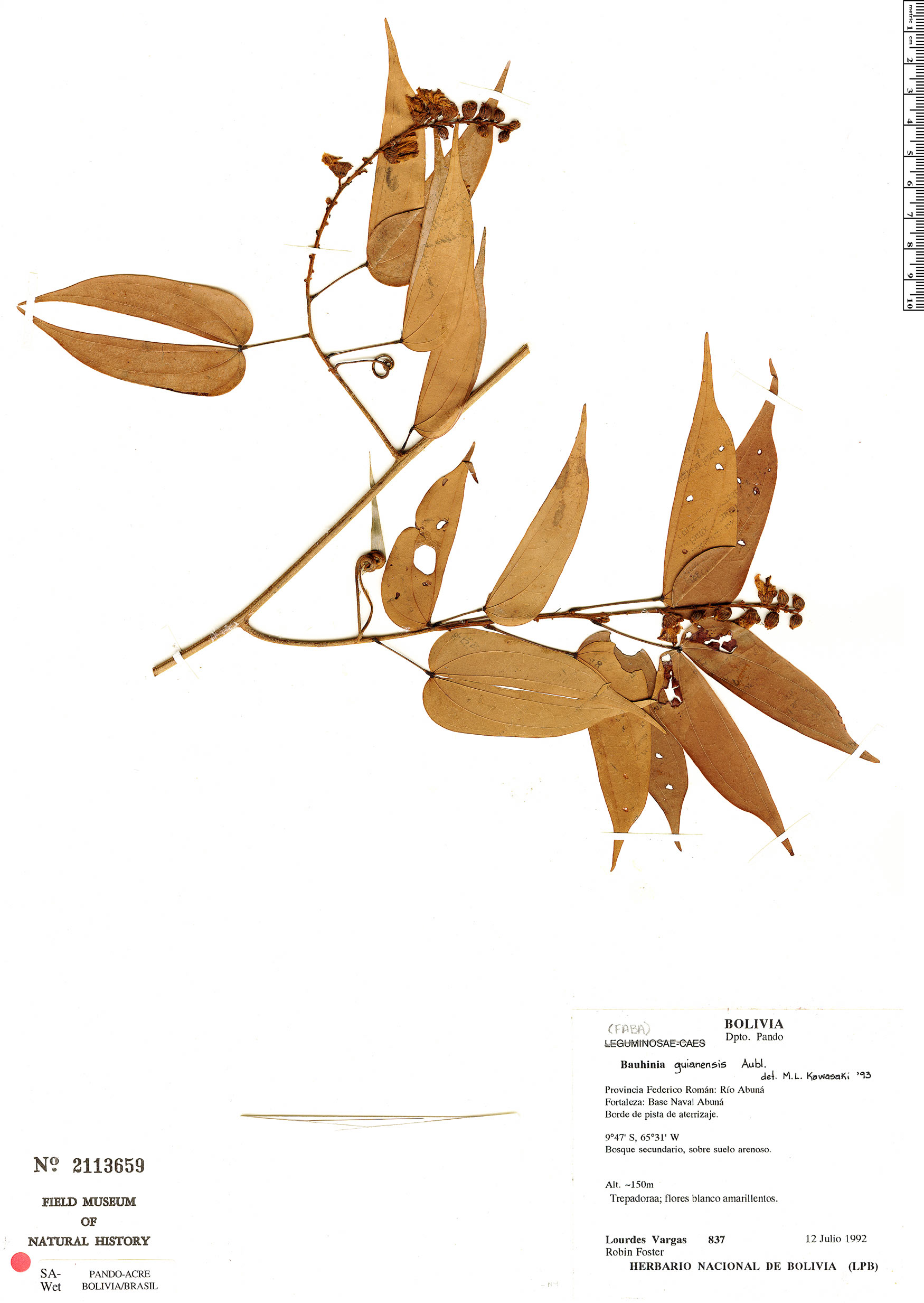 Specimen: Schnella guianensis