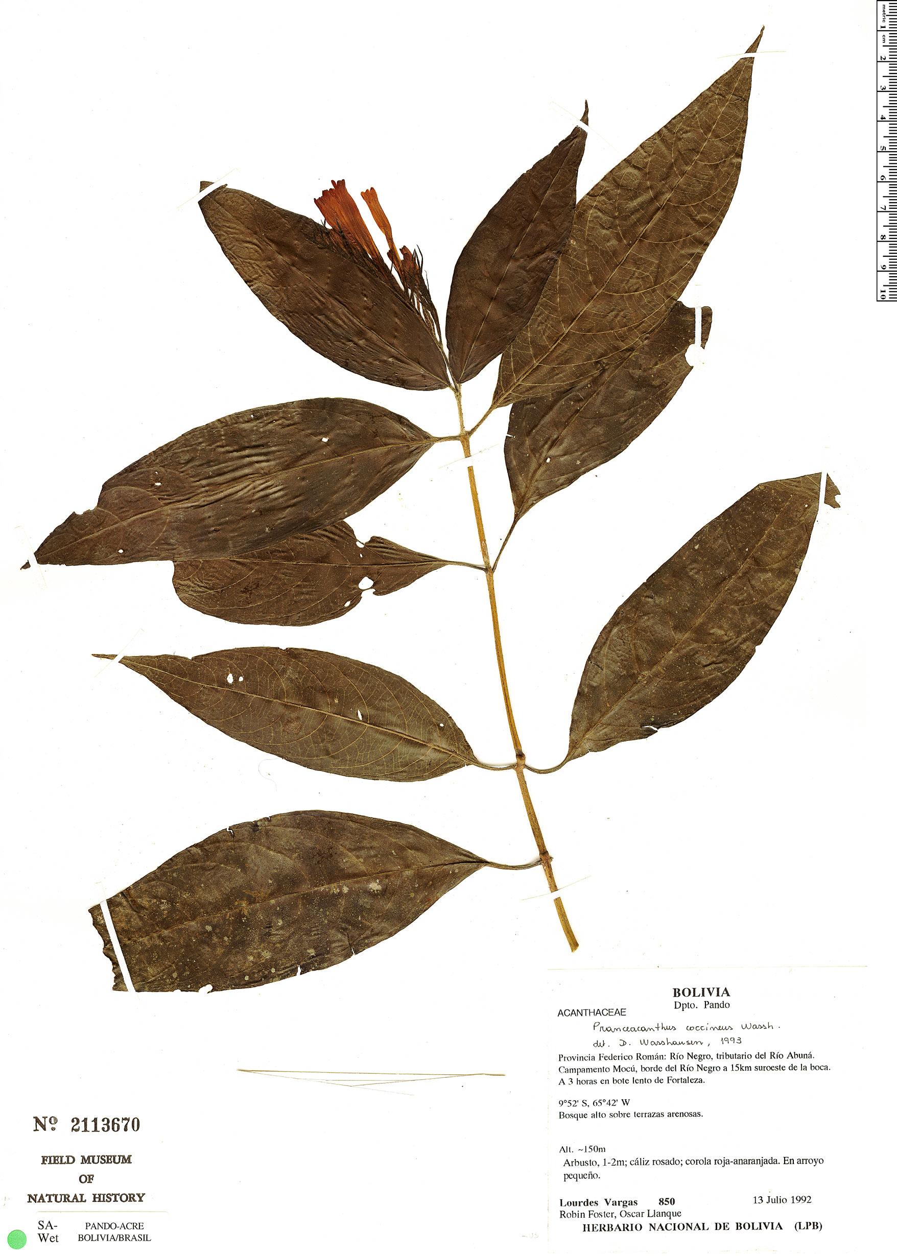 Specimen: Pranceacanthus coccineus