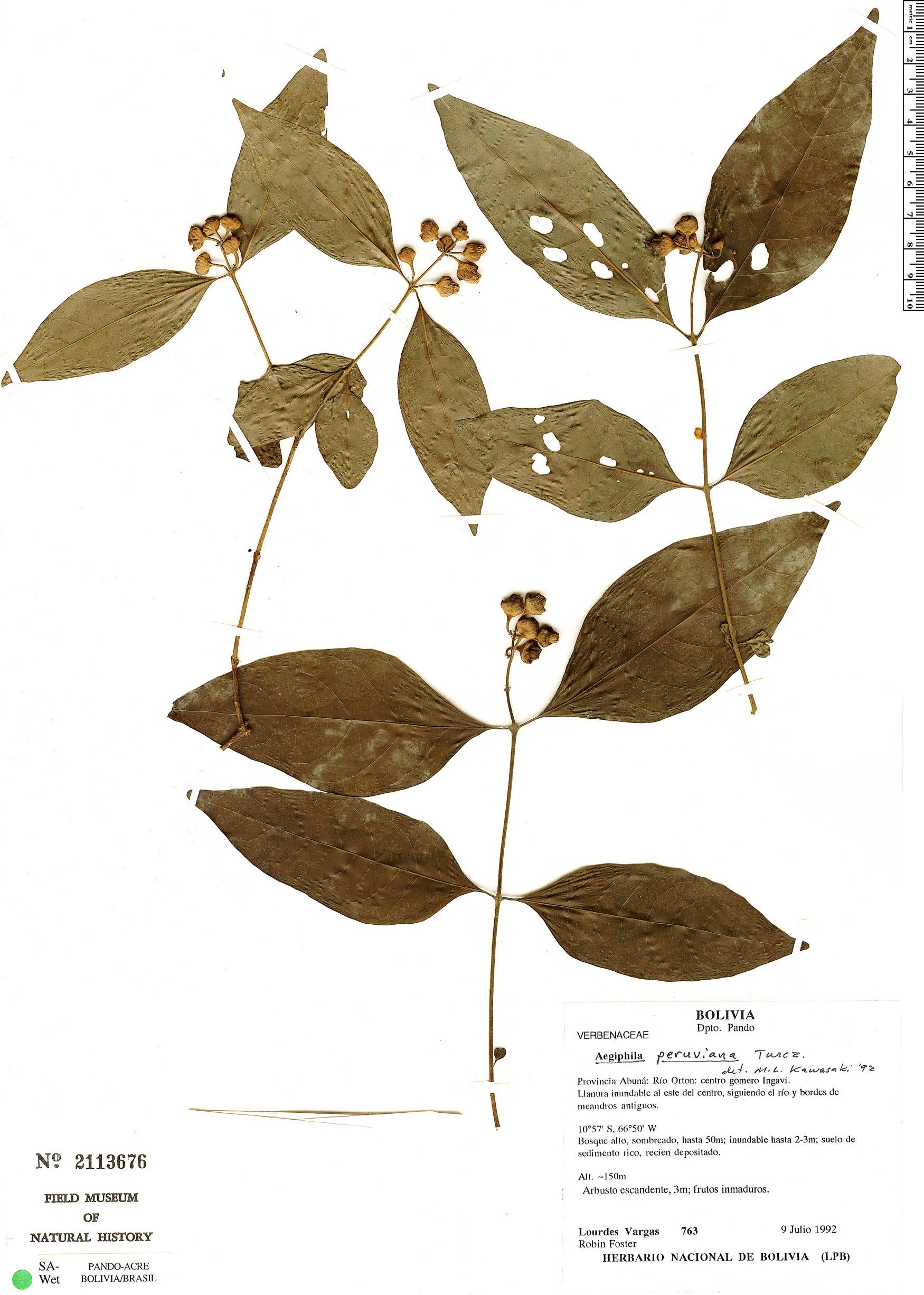 Espécimen: Aegiphila peruviana