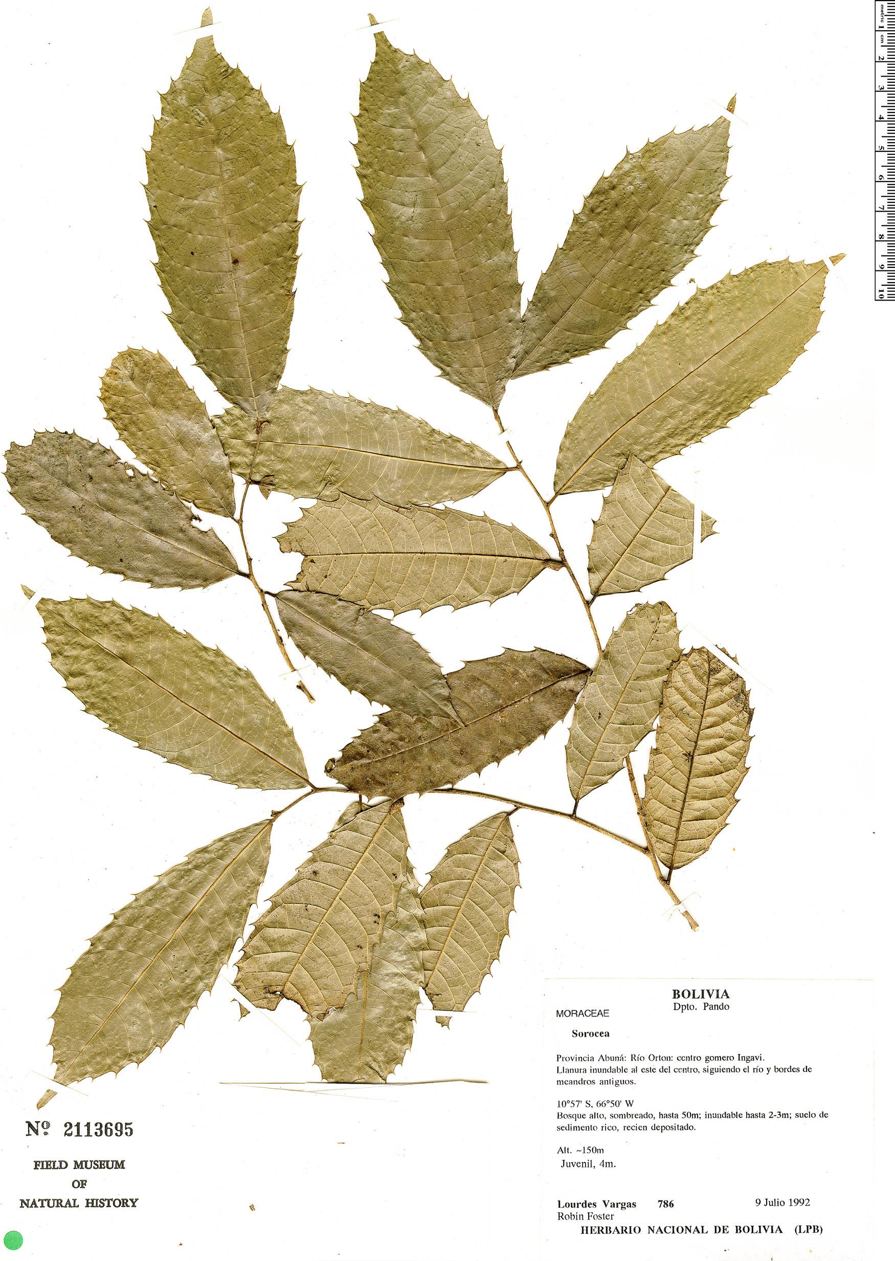 Specimen: Sorocea guilleminiana