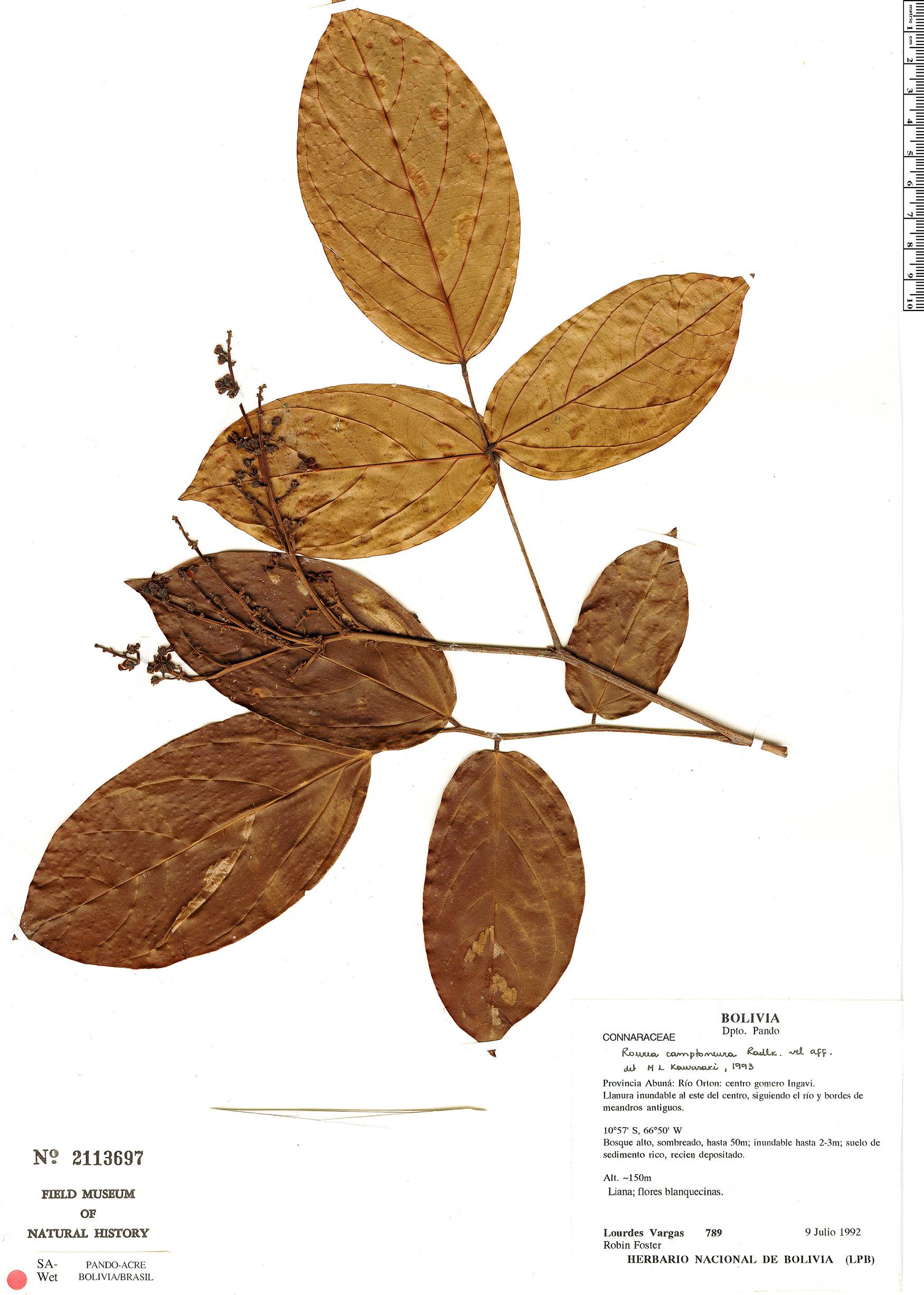 Specimen: Rourea camptoneura