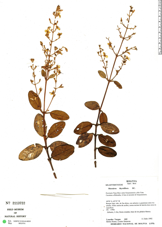 Specimen: Macairea thyrsiflora