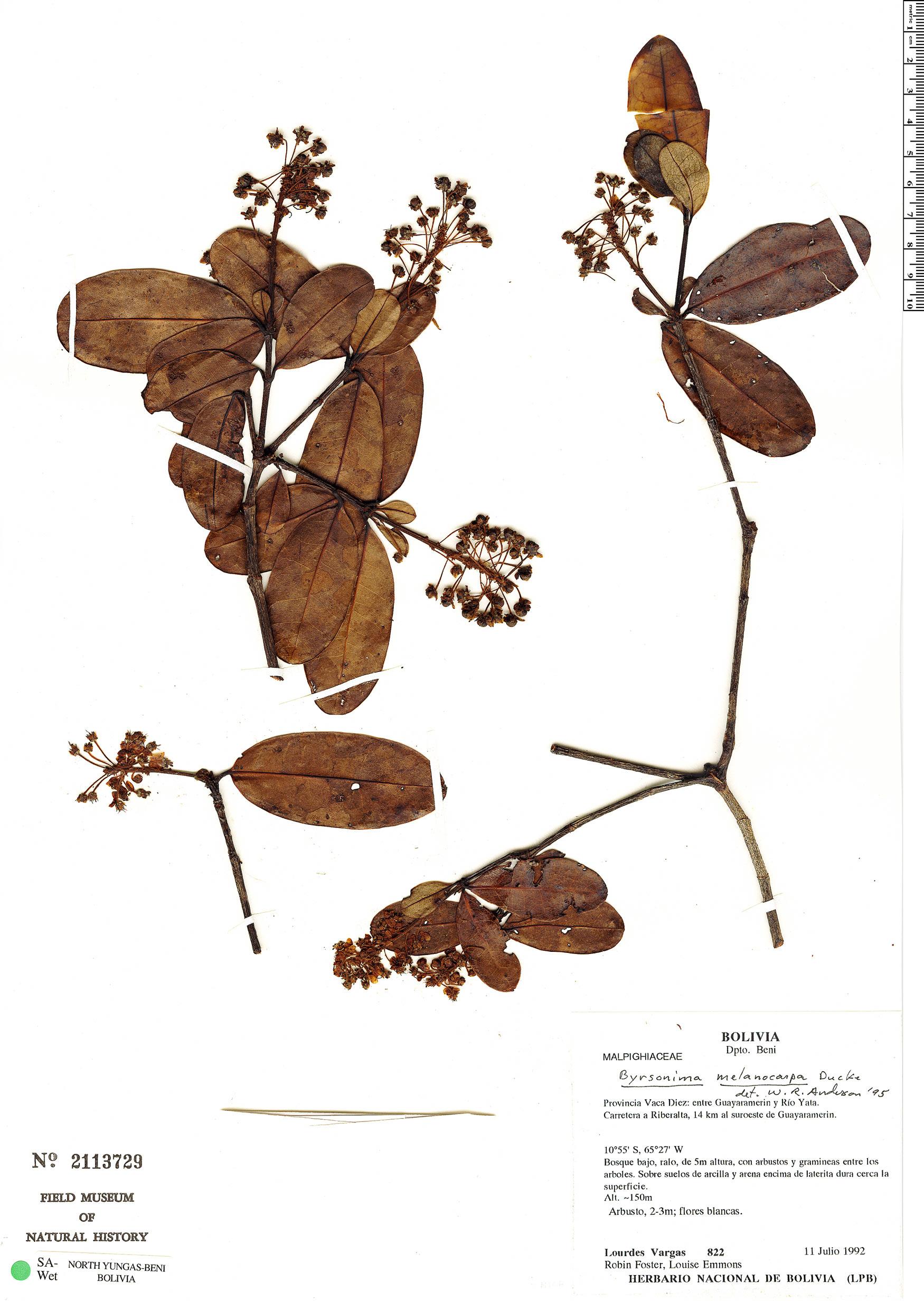 Espécimen: Byrsonima melanocarpa