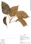 Roupala montana Aubl., Peru, J. Albán Castillo 6962, F