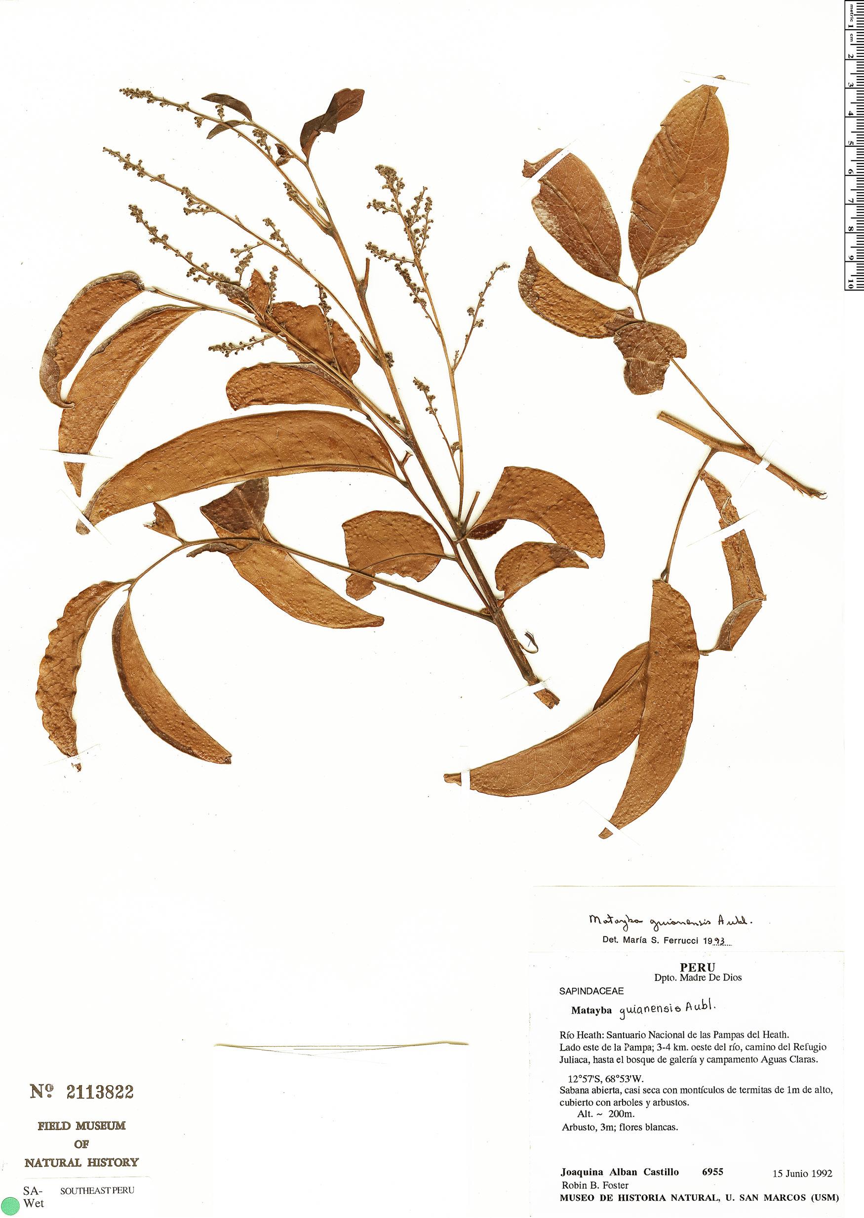 Specimen: Matayba guianensis