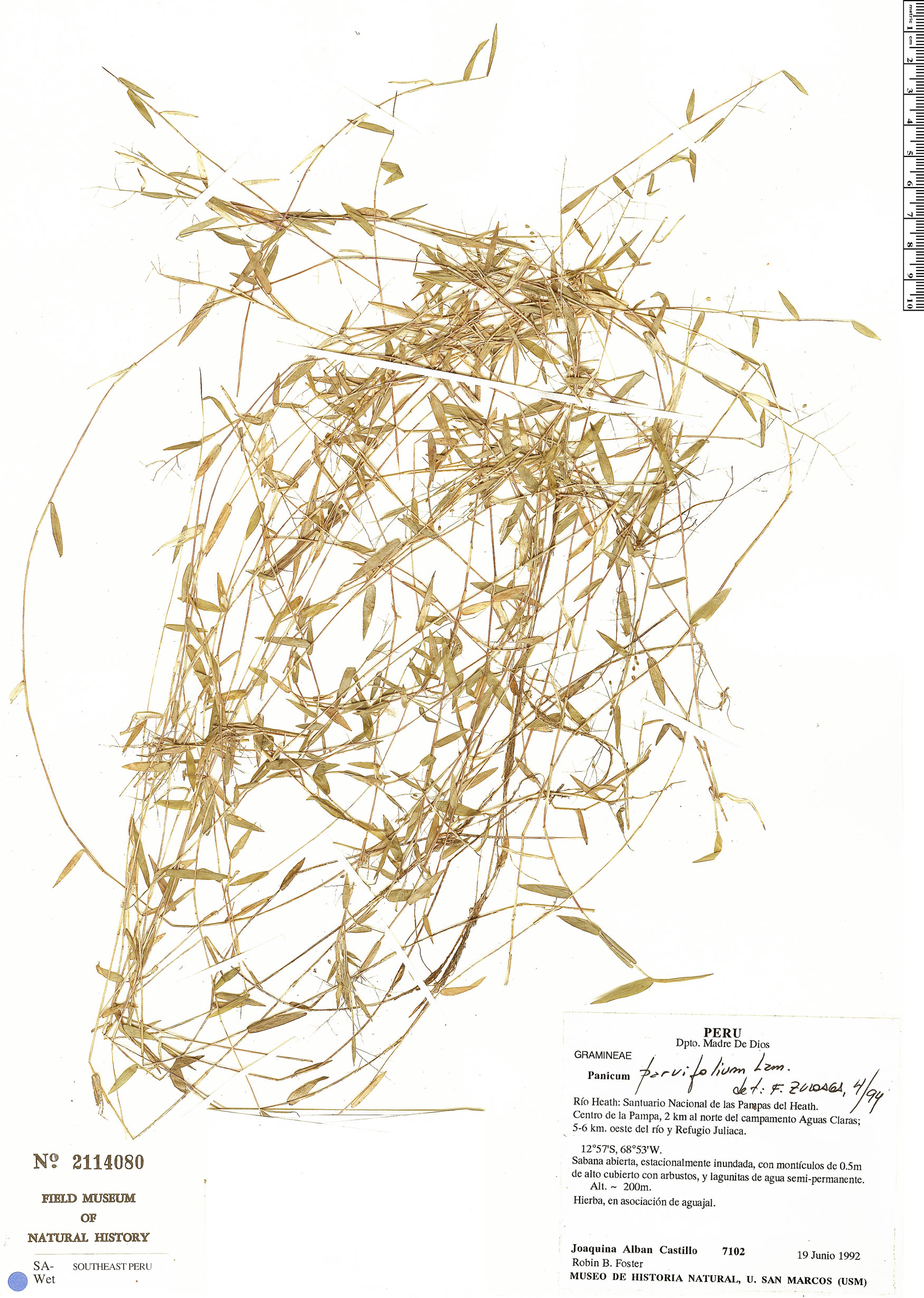 Specimen: Panicum parvifolium