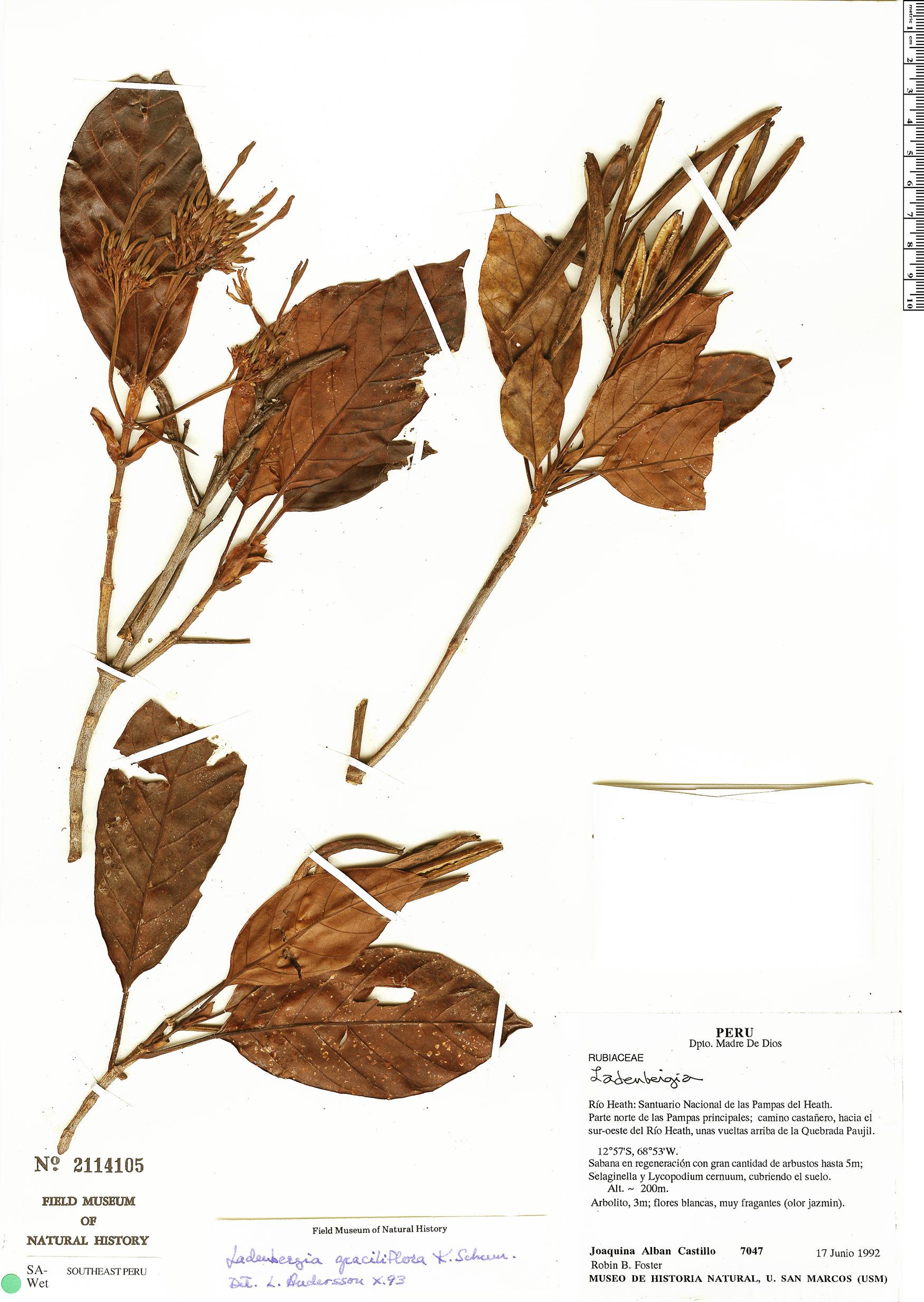 Specimen: Ladenbergia graciliflora