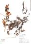 Jacaranda obtusifolia Kunth, Peru, J. Albán Castillo 7198, F