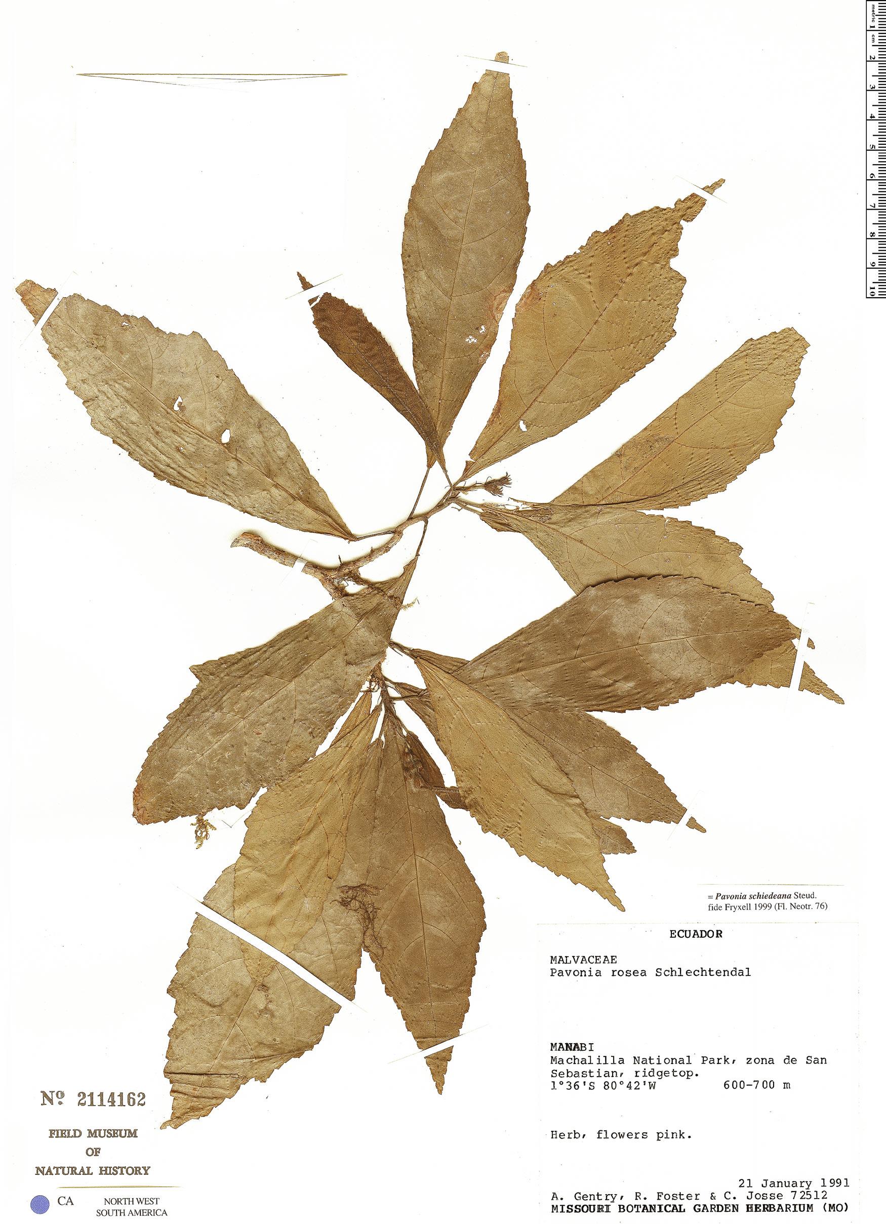Specimen: Pavonia schiedeana