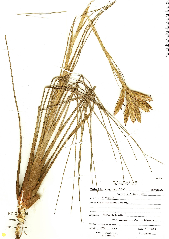 Espécimen: Tillandsia floribunda