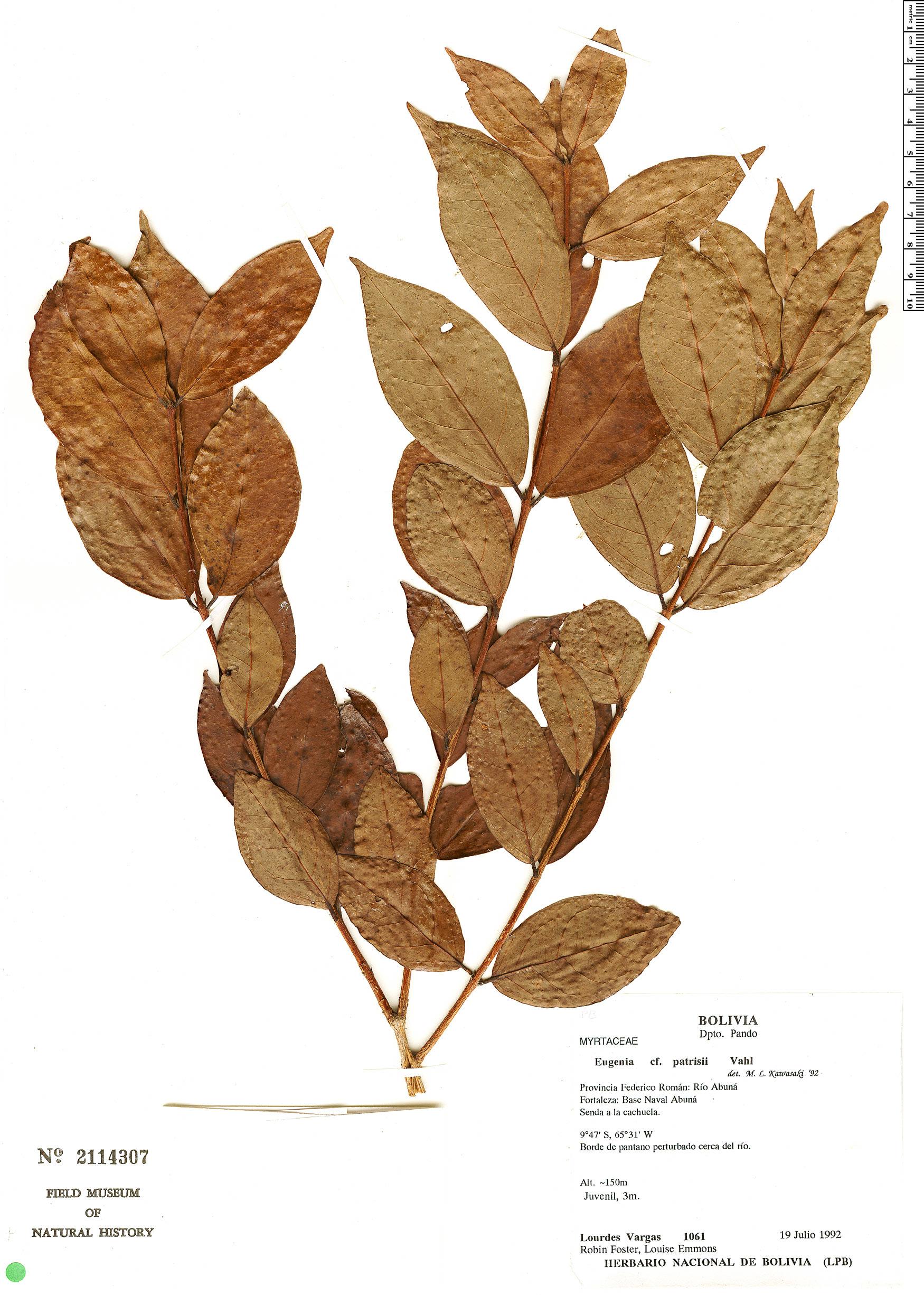 Specimen: Eugenia patrisii