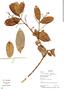 Myrcia guianensis (Aubl.) DC., Bolivia, L. Vargas 847, F