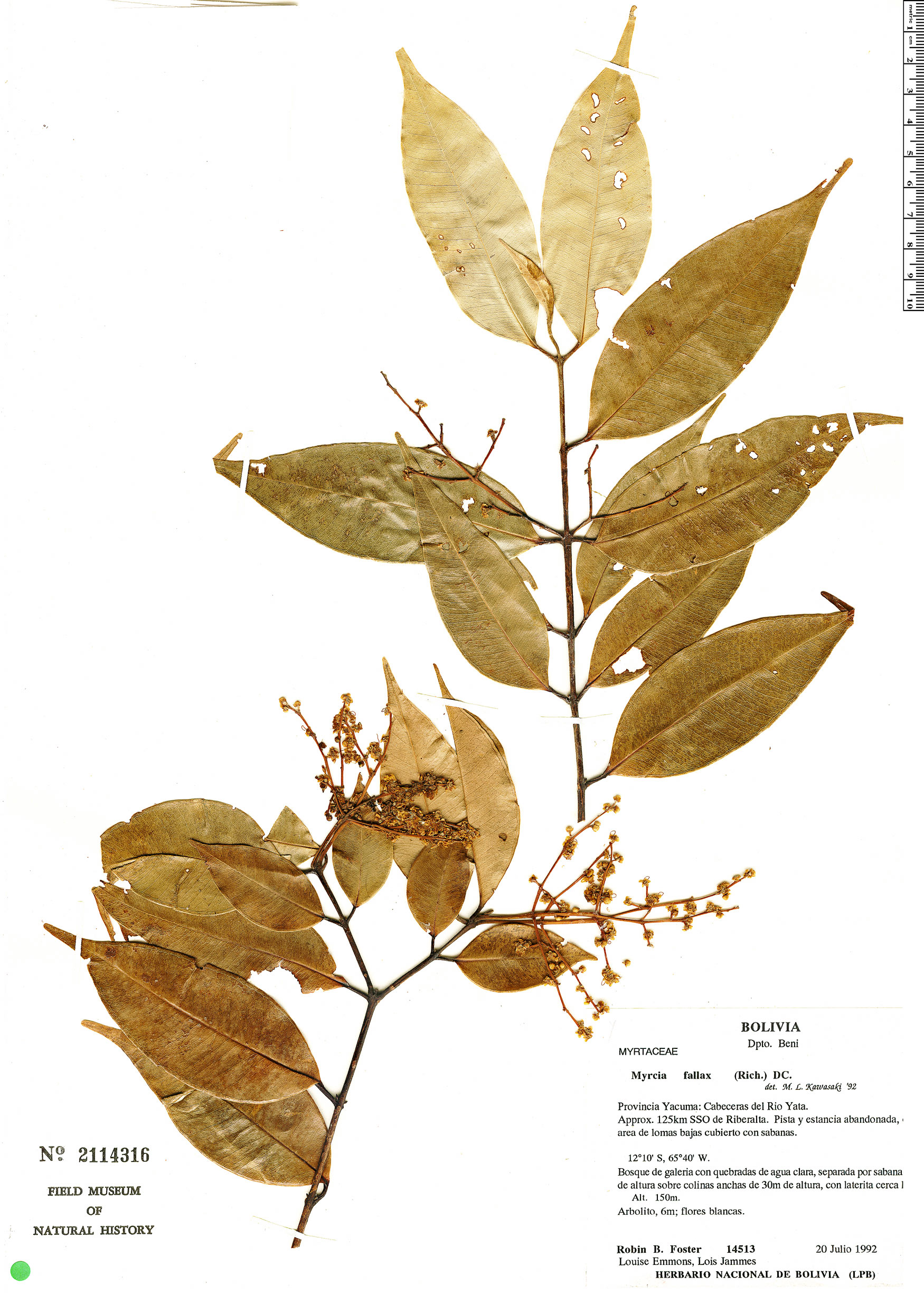 Espécimen: Myrcia fallax