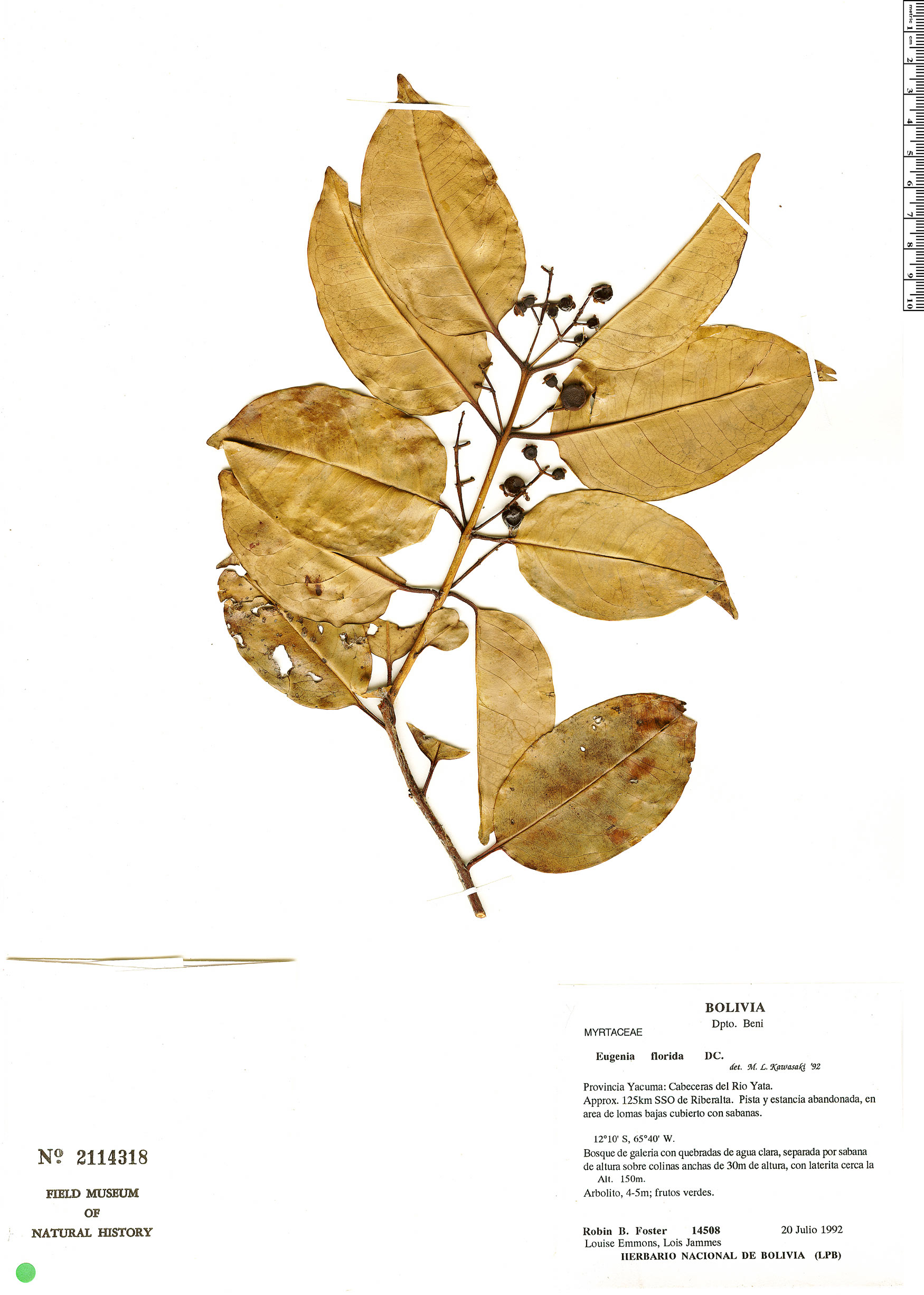Specimen: Eugenia florida