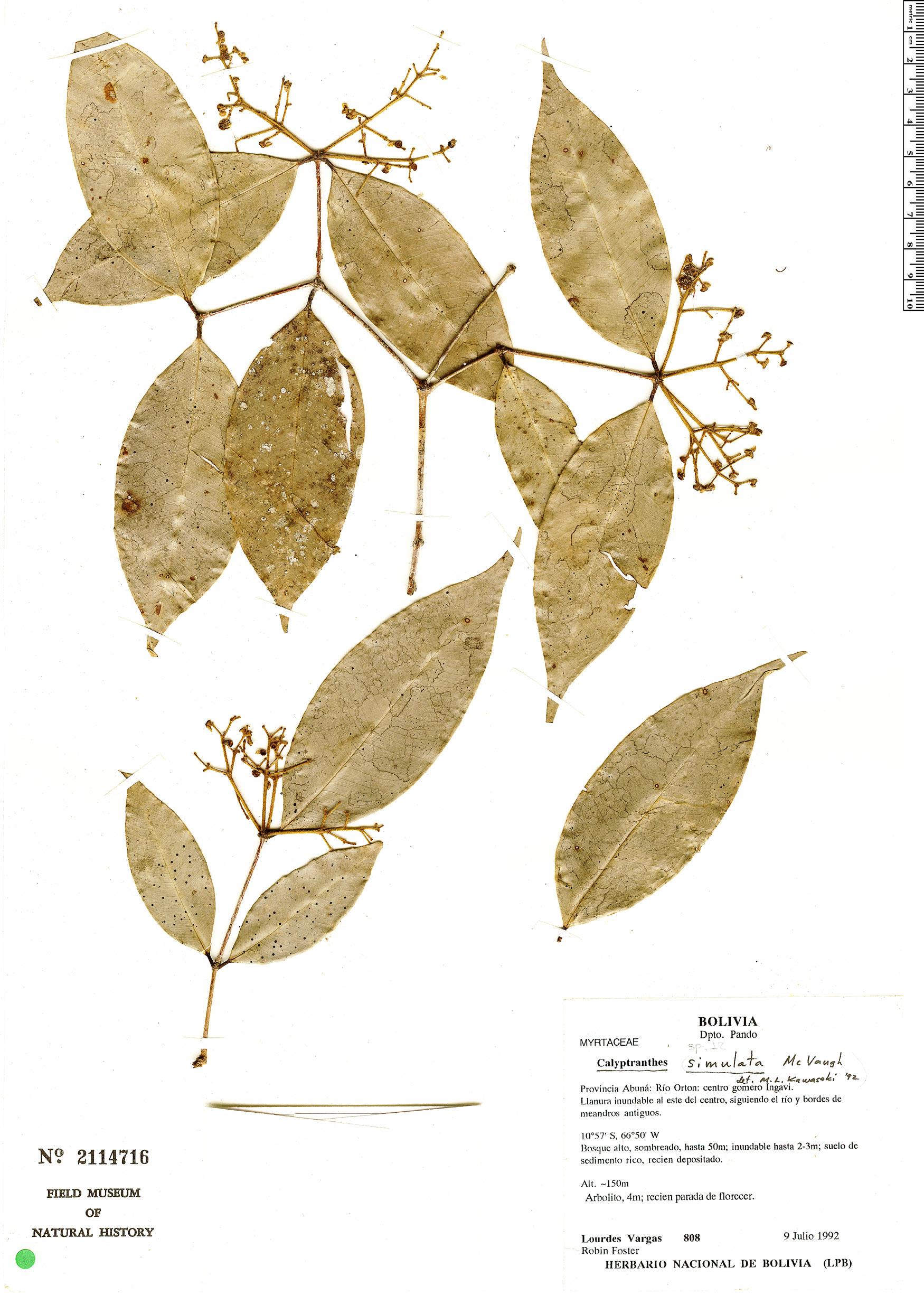 Specimen: Calyptranthes simulata