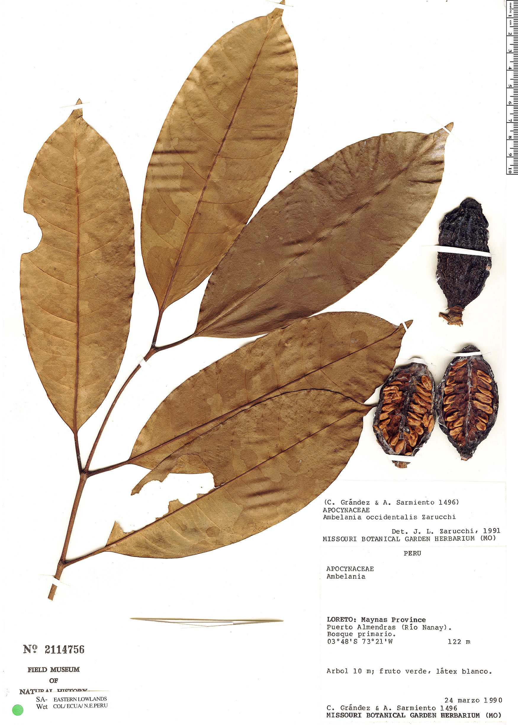 Specimen: Ambelania occidentalis