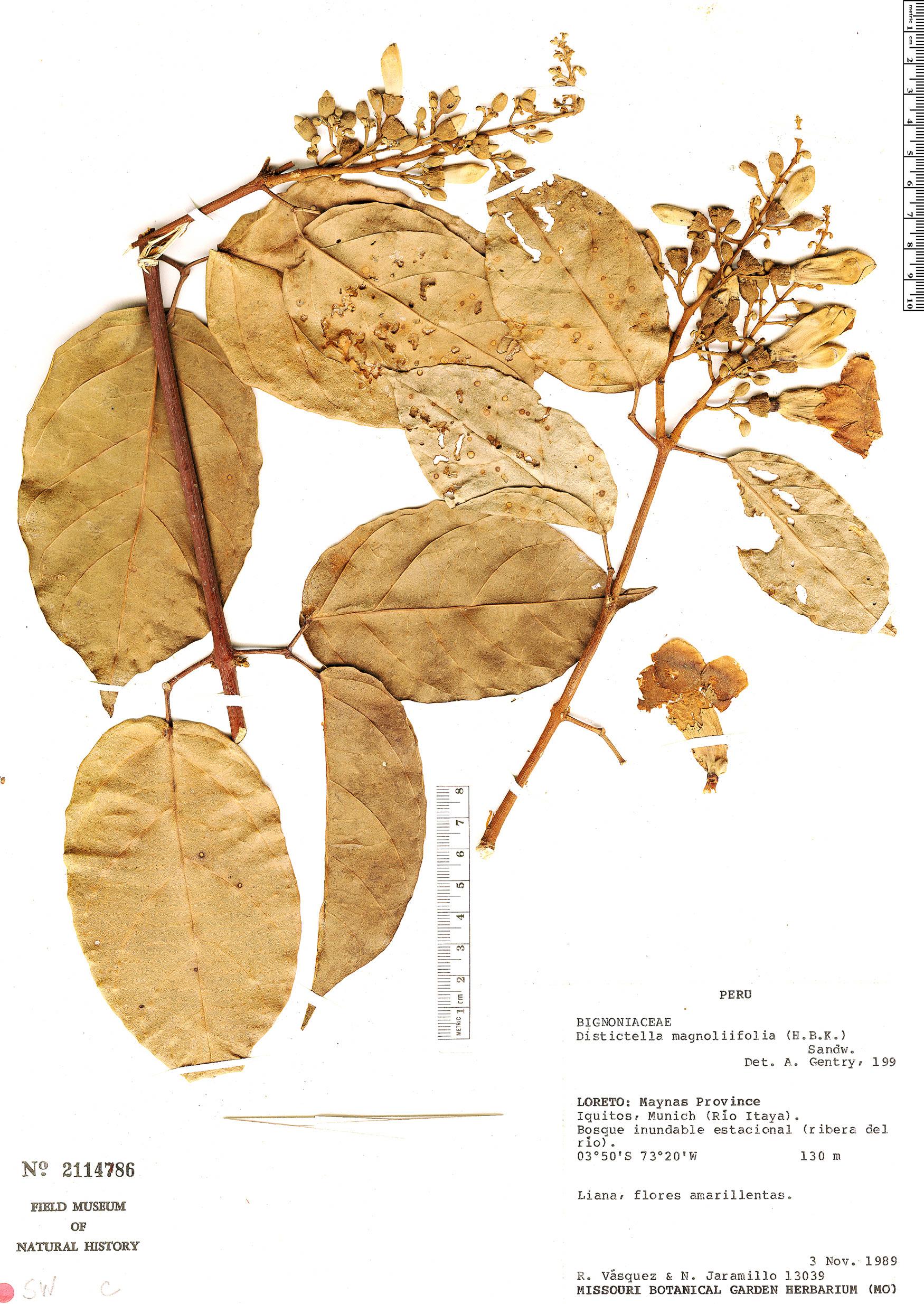 Specimen: Amphilophium racemosum