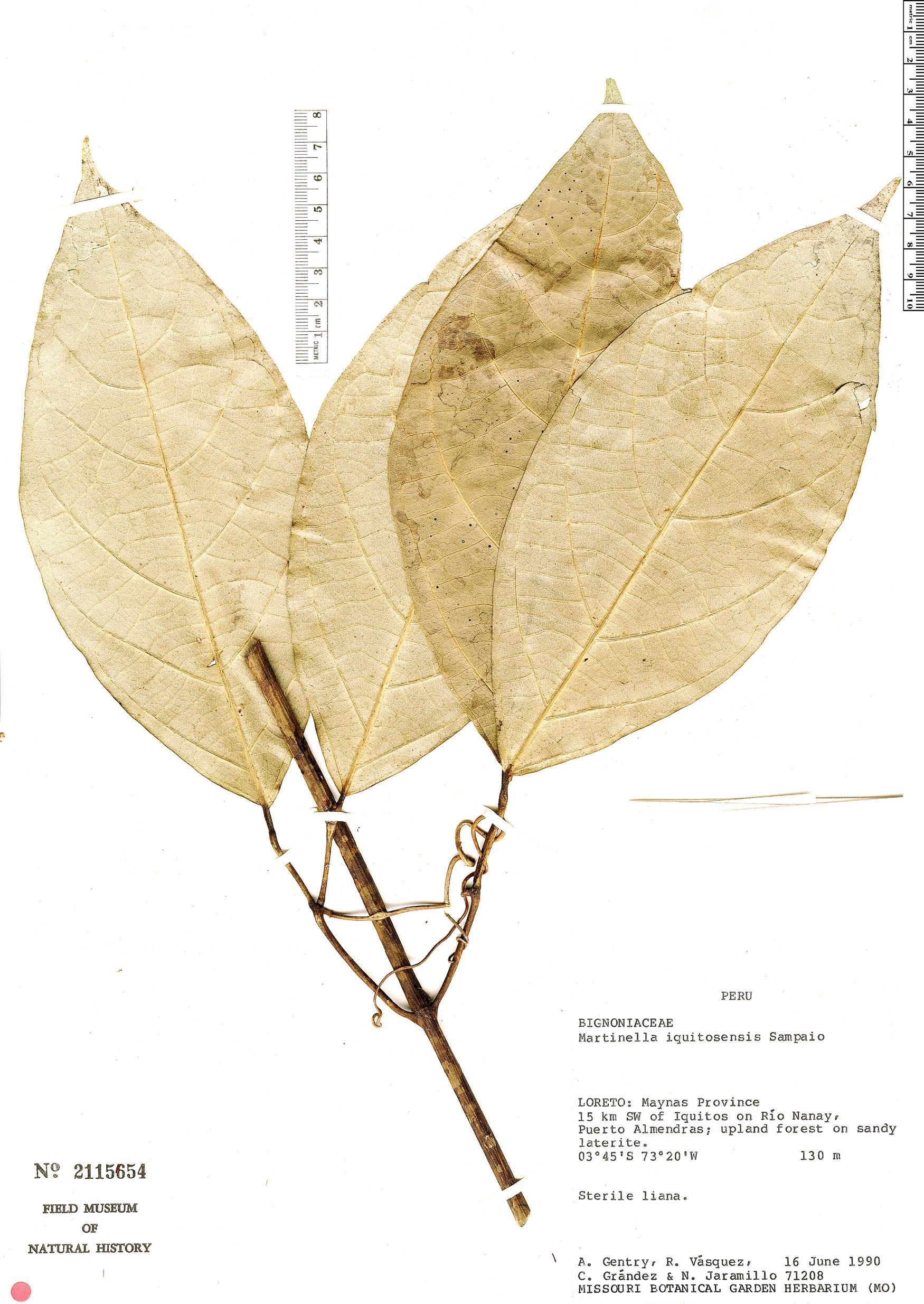 Specimen: Martinella iquitoensis