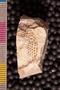 2019 IMLS Ordovician Digitization Project. Receptaculites fossil