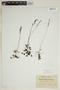 Drosera rotundifolia L., FRANCE, Abbé Daenen