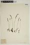 Drosera rotundifolia L., J. E. Wickstrom