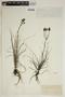 Drosophyllum lusitanicum (L.) Link, Morocco